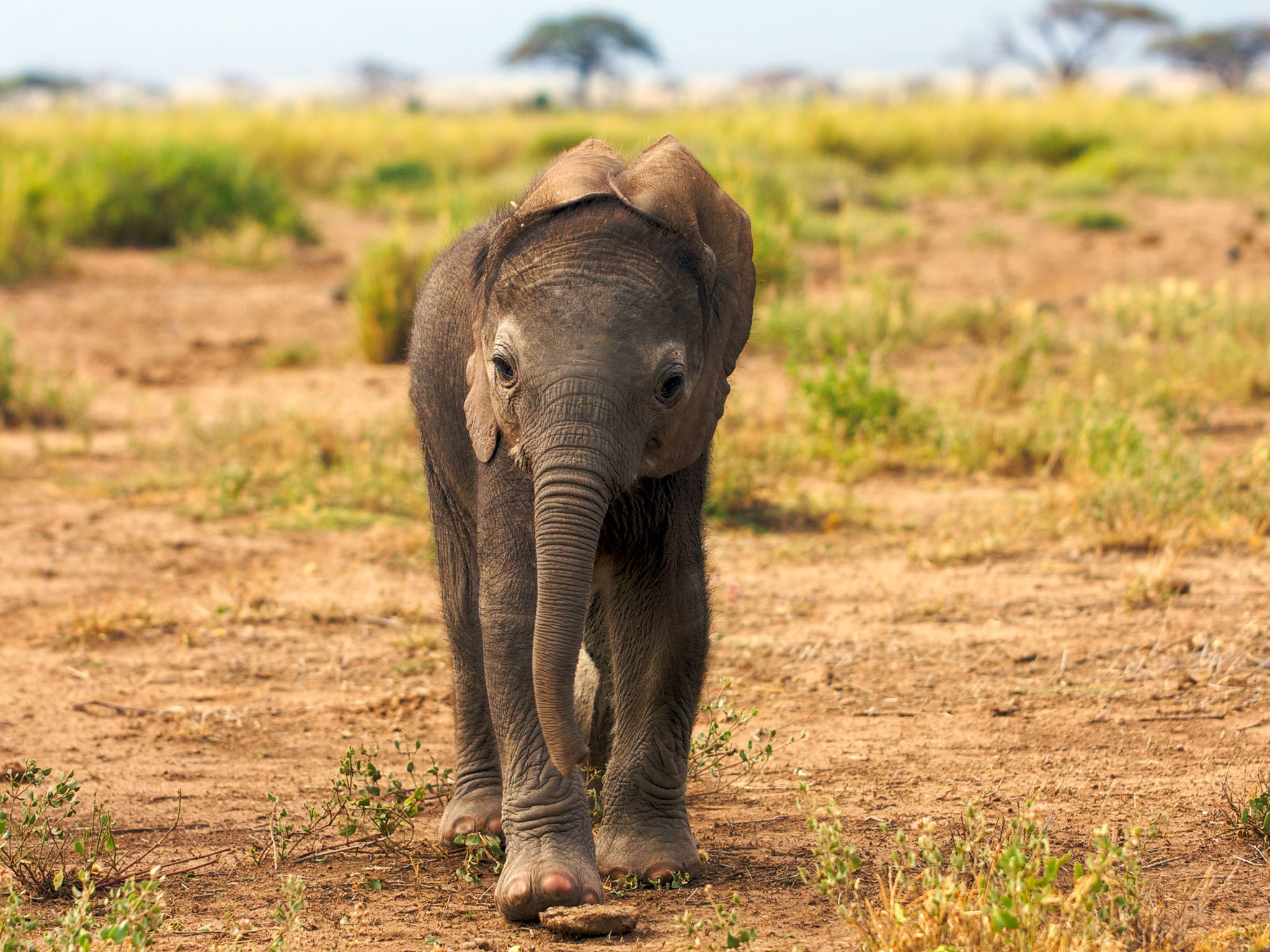 Amboseli GR, Kenya, East Africa: Being born in the dry season can be a real danger for elephant... [Photo of the day - ژانویه 2016]