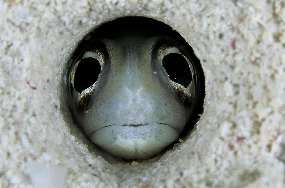 A conger eel peers wide-eyed through its sandy burrow in the Caribbean Sea. Cuba. [Fotografija dneva - avgust 2011]