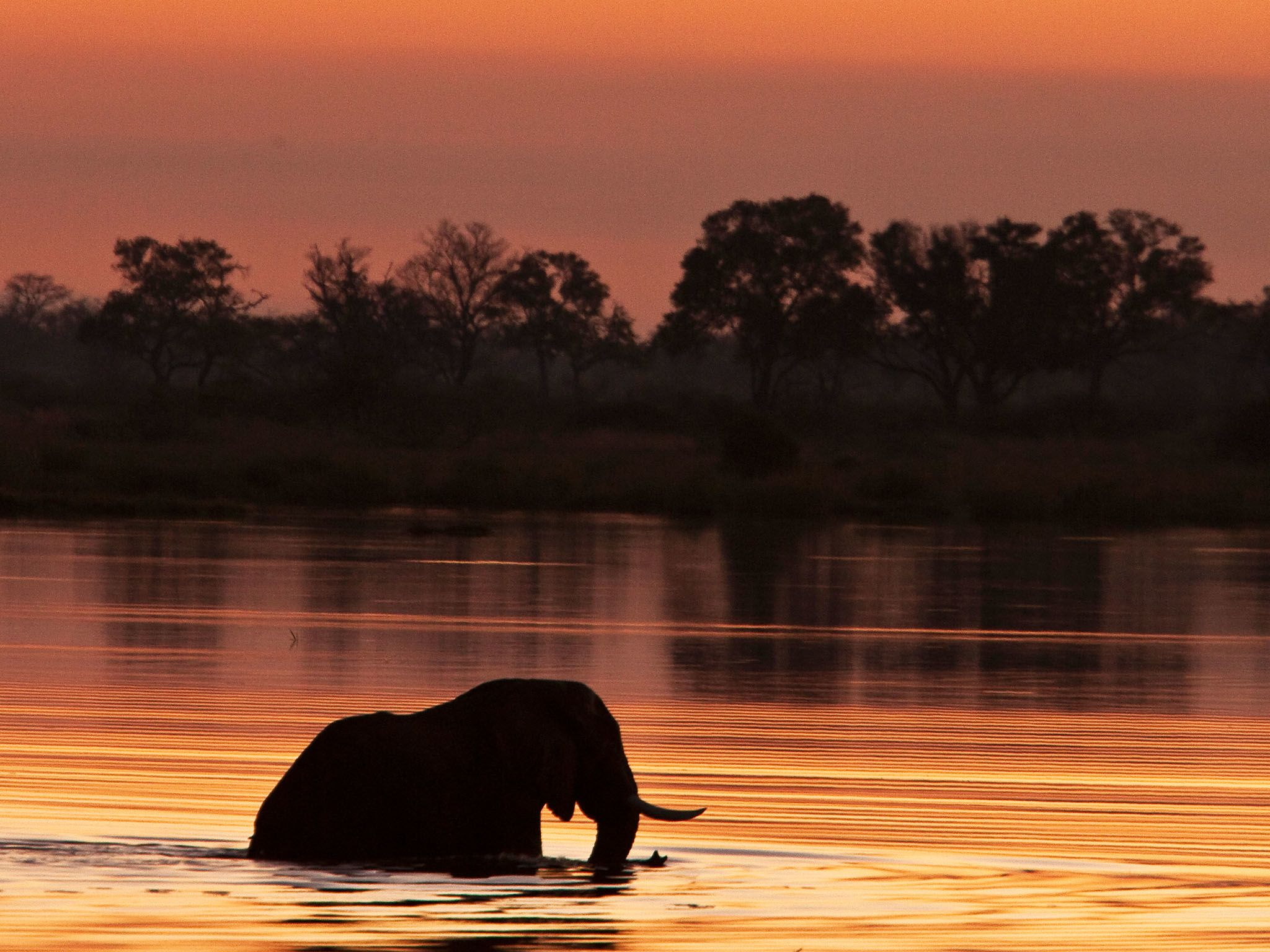 An elephant is silhouetted as it wades through the water at sunset in Botswana. This image is... [Photo of the day - ژانویه 2016]