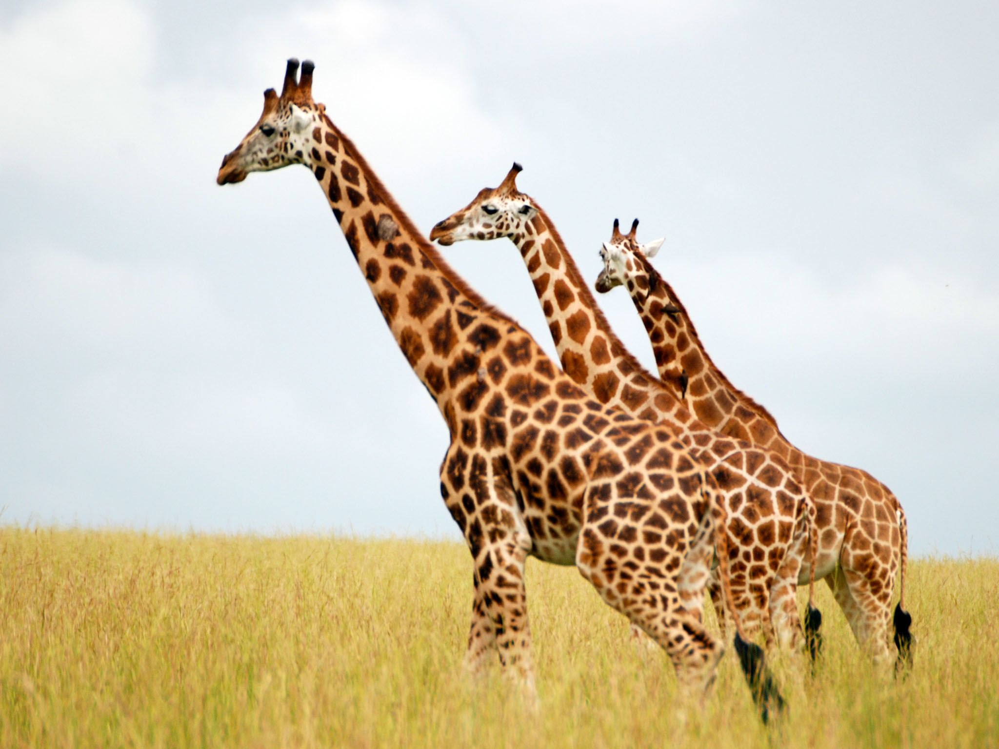 Three Giraffes looking to the left. This image is from Giraffe African Giant. [Photo of the day - ژانویه 2016]