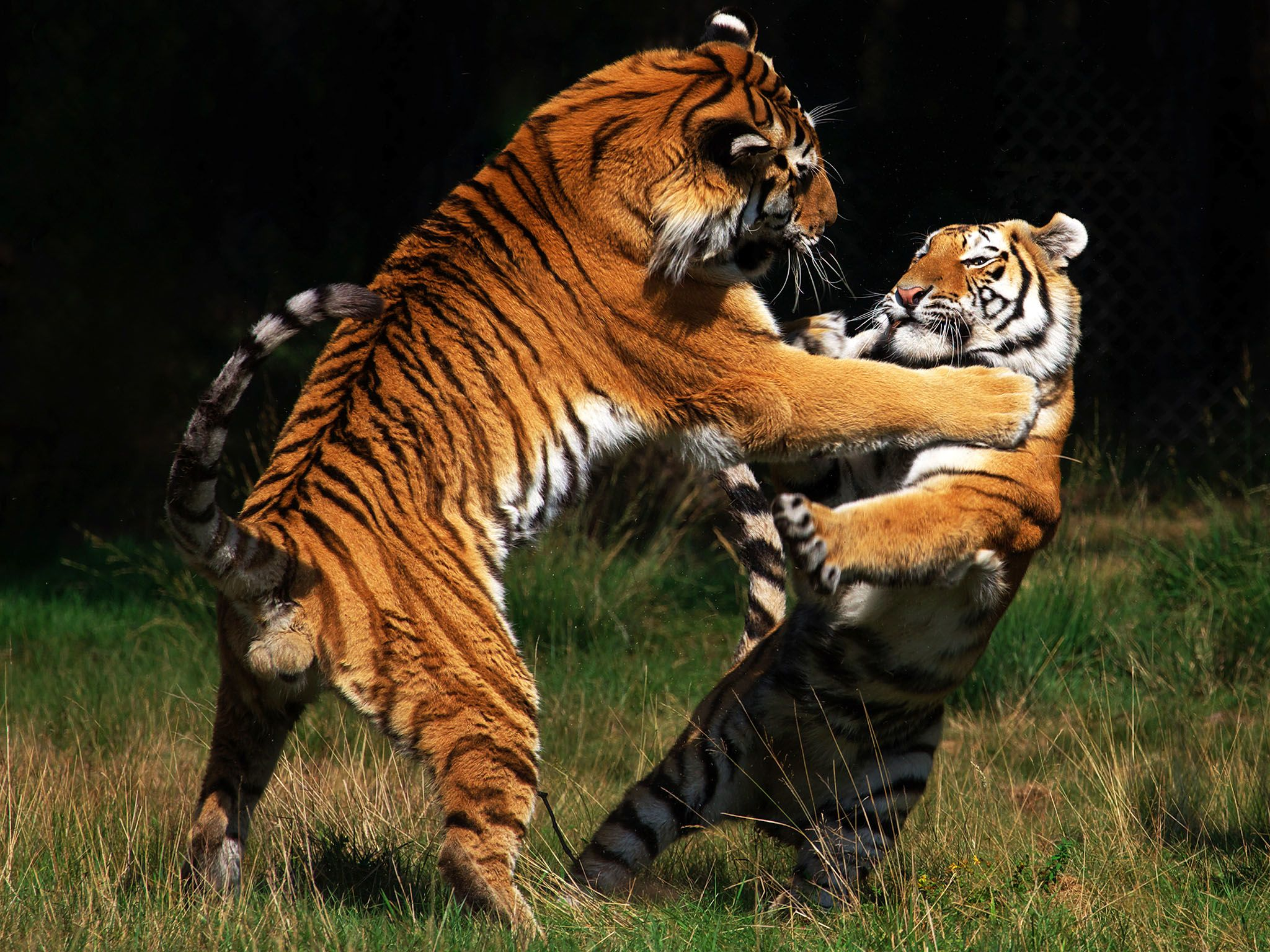 The Siberian tiger is the largest and palest subspecies of tiger. This image is from Cat Fight. [Photo of the day - فوریه 2016]
