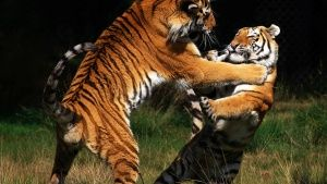 The Siberian tiger is the largest and... [Photo of the day -  7 فوریه 2016]