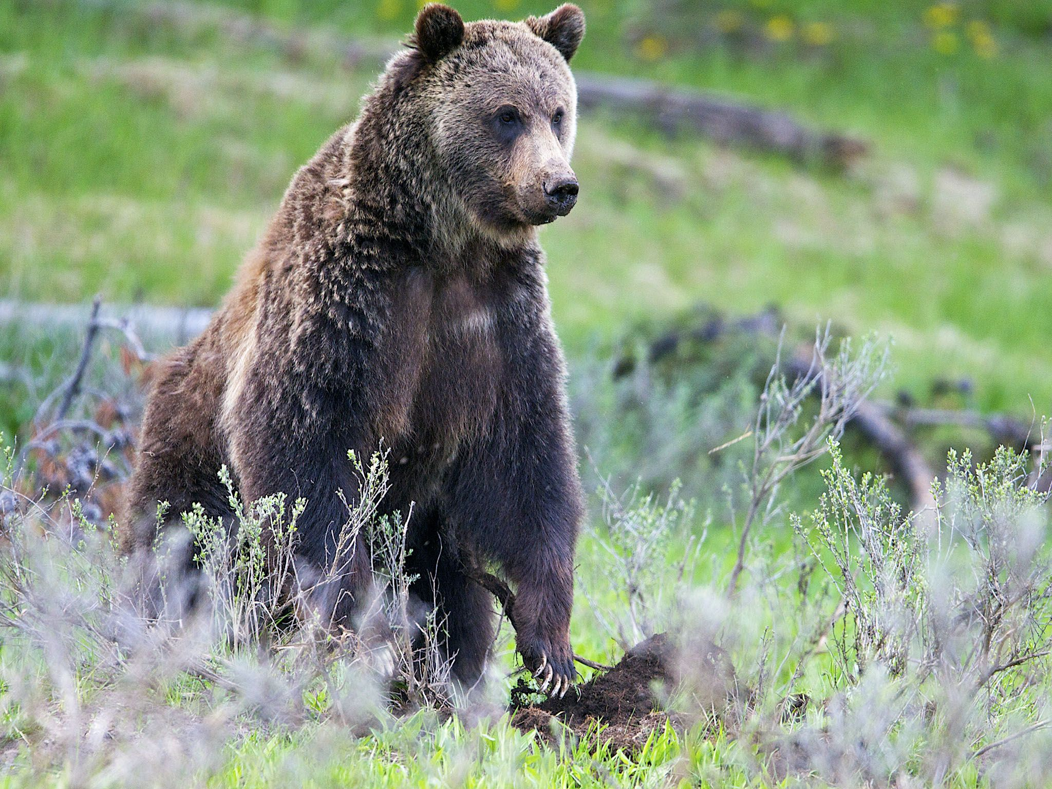 Yellowstone National Park: The Grizzly is the apex predator of the Yellowstone National Park.... [Photo of the day - فبراير 2016]