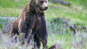 Grizzly im Yellowstone-Nationalpark. ... [Top-Fotos - 10. FEBRUAR 2016]