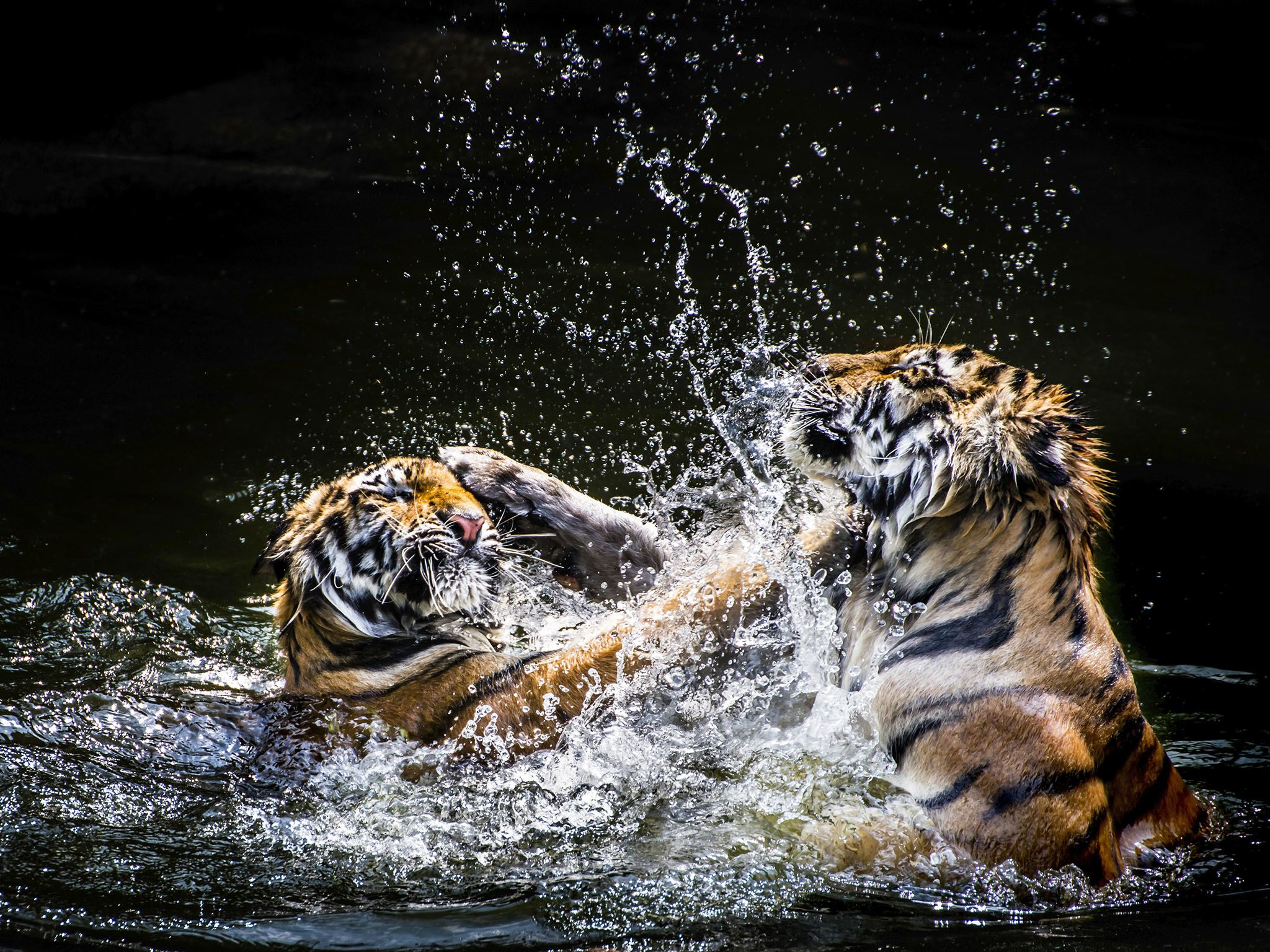 Tigers wrestle in the water. Tigers usually live 8 to 10 years in the wild. This image is from... [Photo of the day - فبراير 2016]