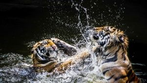 Tigers wrestle in the water. Tigers u... [Photo of the day - 11 FEVEREIRO 2016]