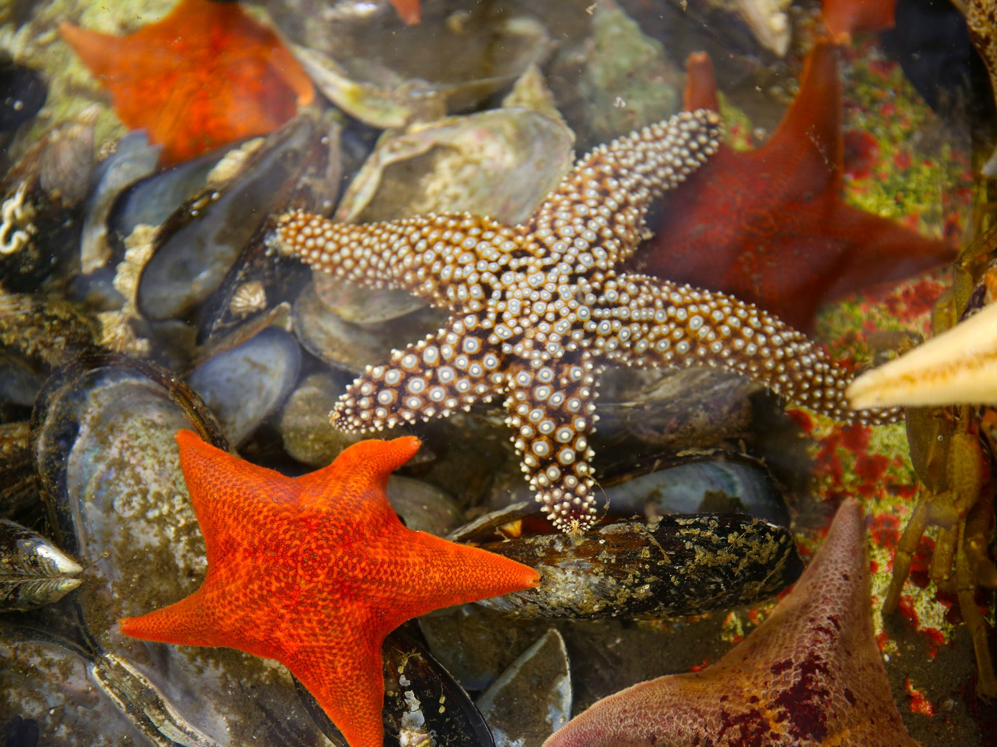 Santa Barbara, Calif.: Some star fish in a tide pool at UC Santa Barbara. This image is from... [Photo of the day - فبراير 2016]
