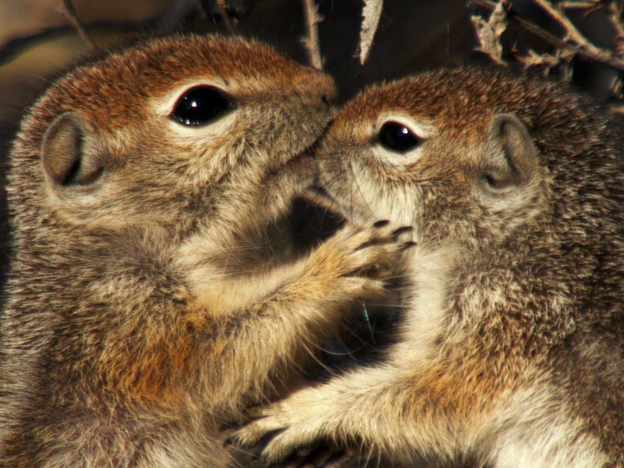 Saguaro National Park, Arizona: Young antelope squirrels play with each other. This image is... [Photo of the day - February 2016]