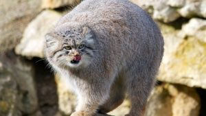 The cave dwelling Pallas Cat. This im... [Photo of the day - 15 FEBRUARY 2016]