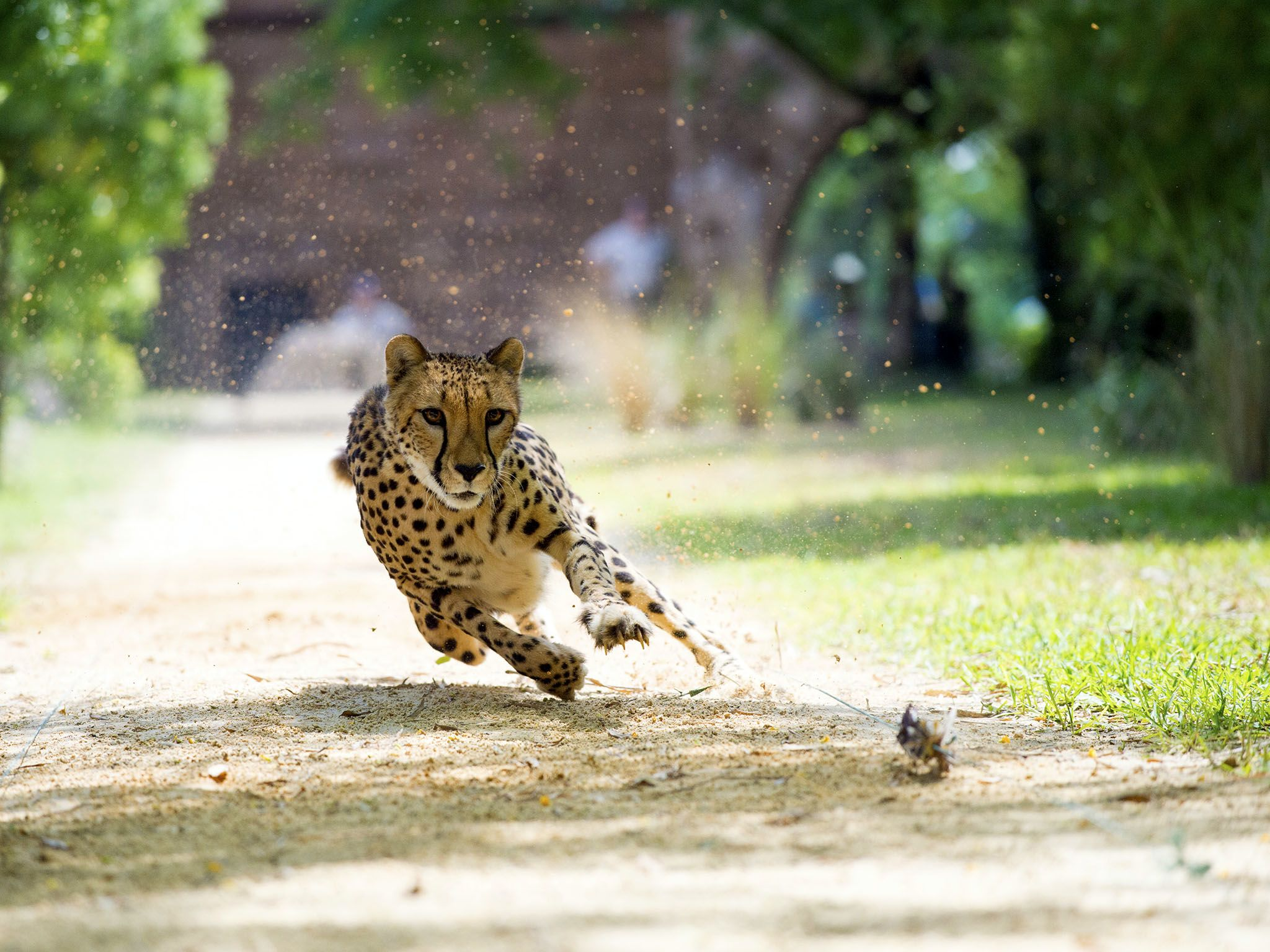 Every Big Cat is awesome – and each one can boast extraordinary powers. From extreme speed... [Photo of the day - فبراير 2016]