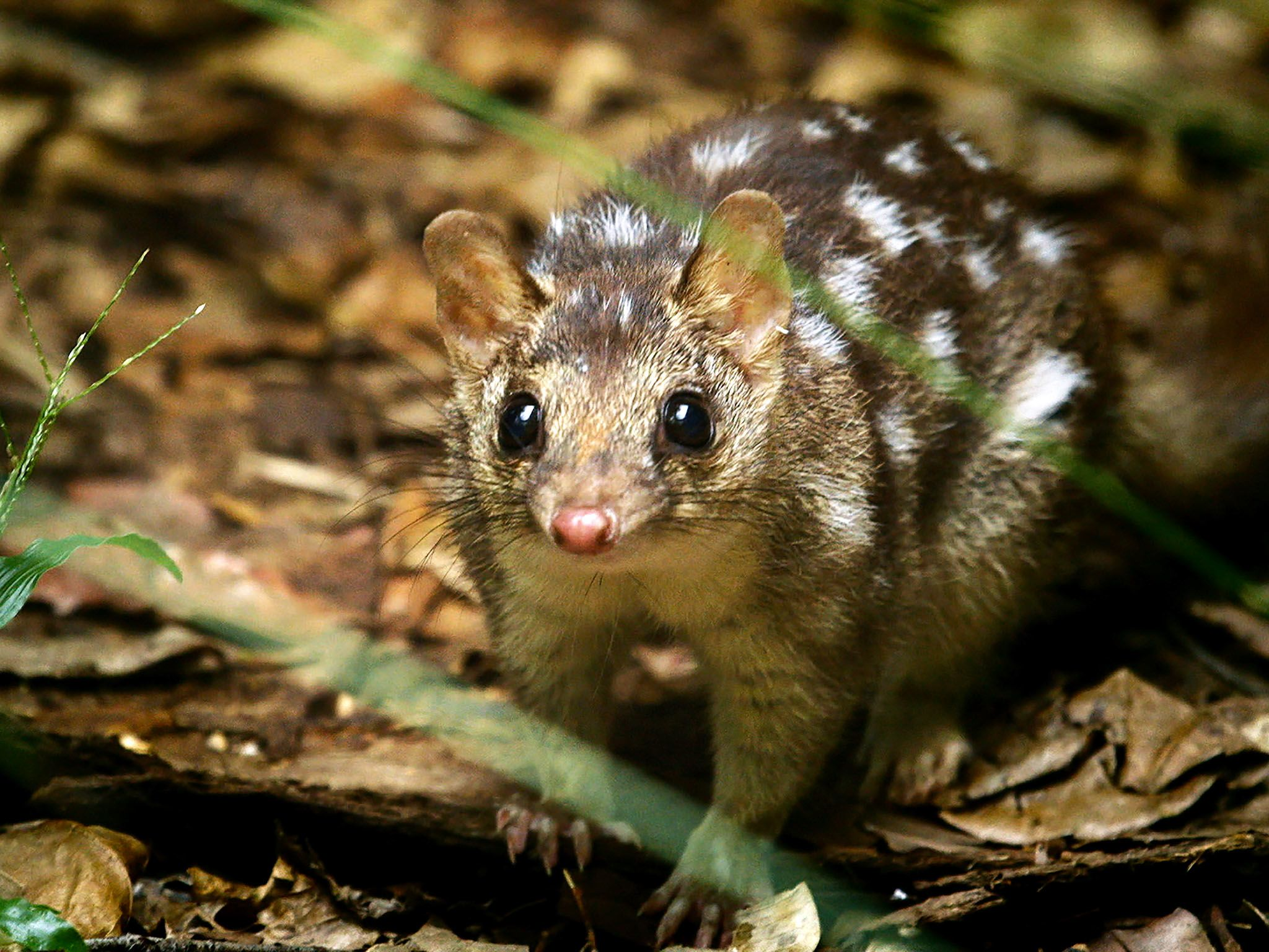 Northern Territory Wildlife Park, Northern Territory Australia: The Northern quoll (Dasyurus... [Photo of the day - March 2016]