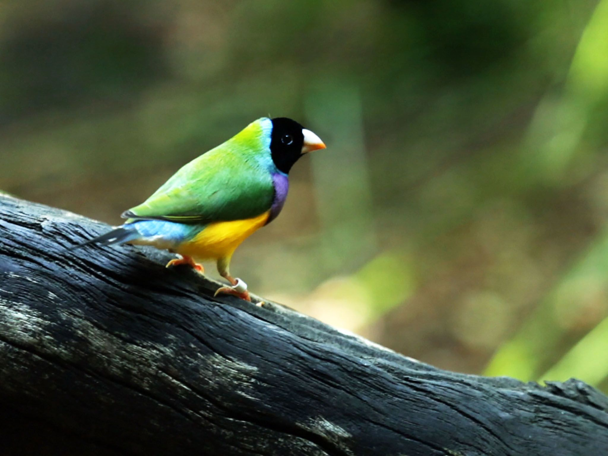 Northern Territory Wildlife Park, Northern Territory Australia: The gouldian finch (Erythrura... [Photo of the day - March 2016]