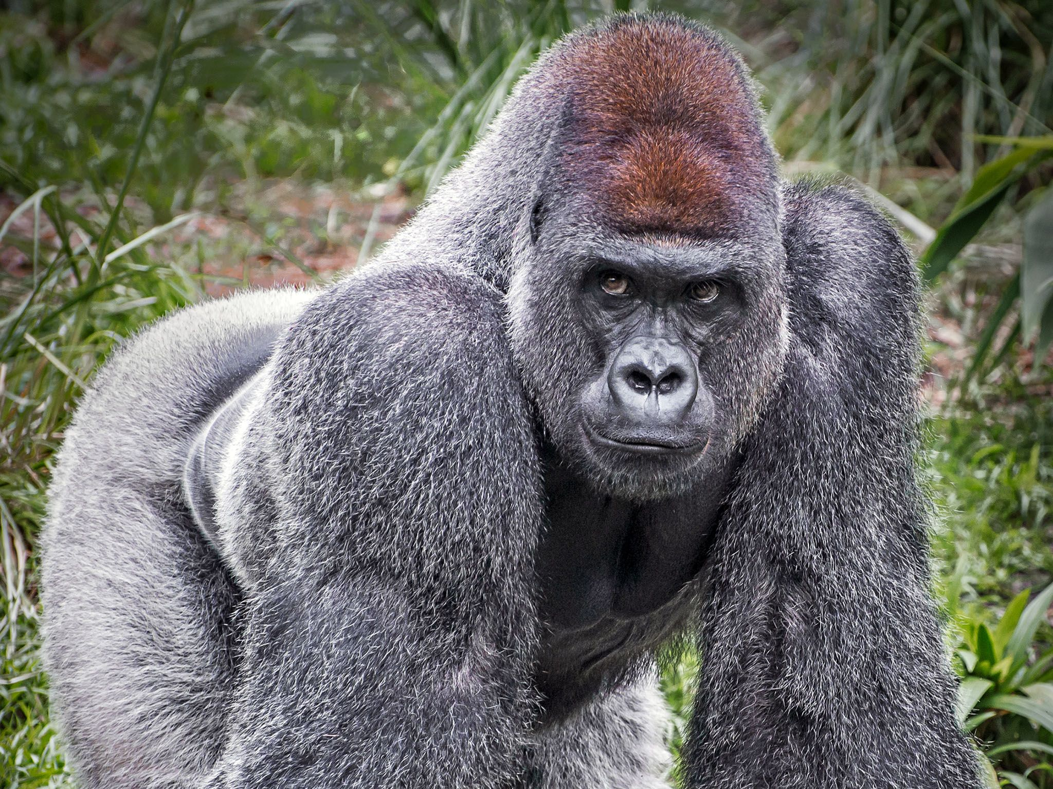 The Silverback gorilla gets its name from a silver patch of fur that grows on the backs of adult... [Photo of the day - 四月 2016]
