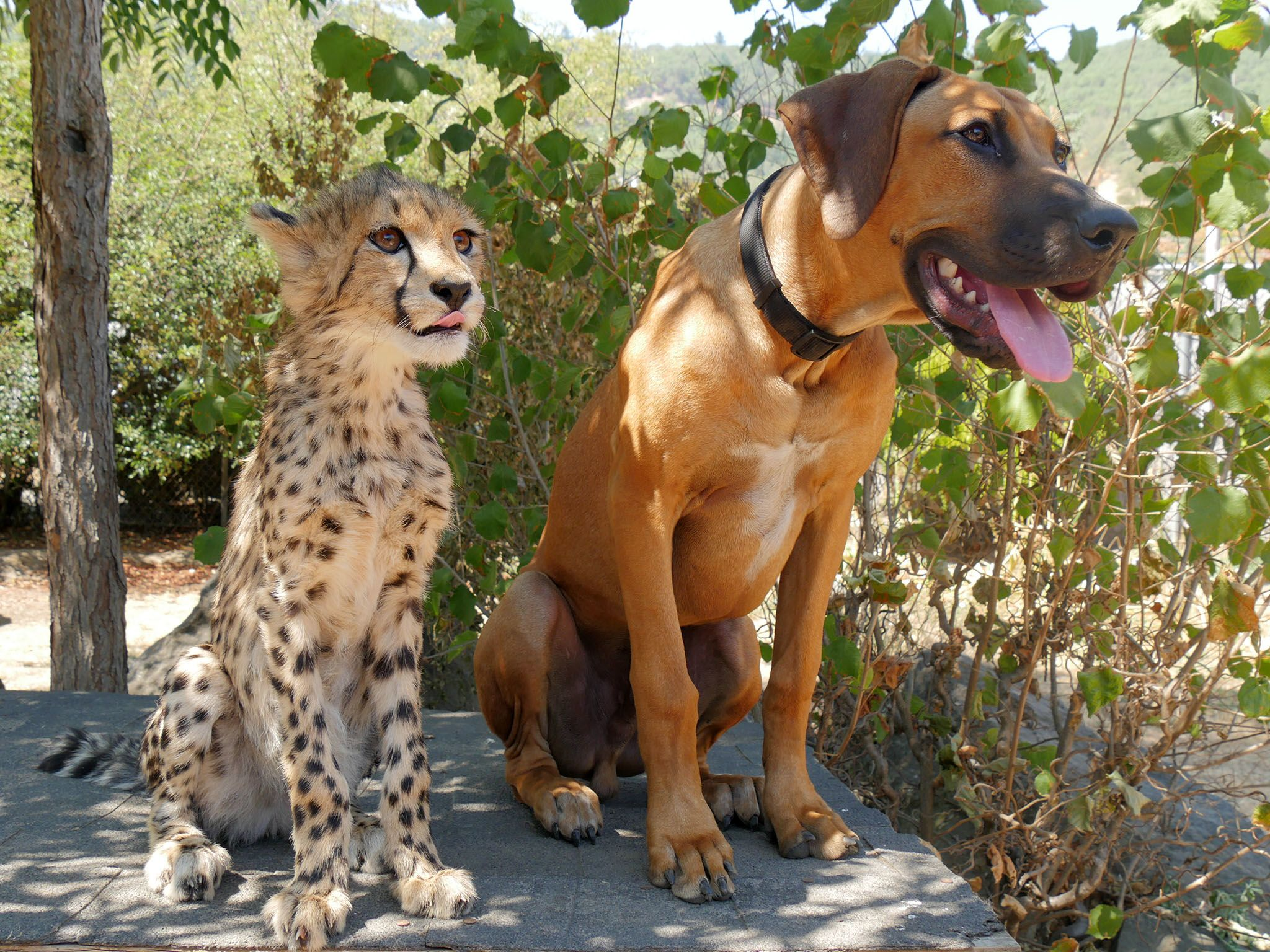 Winston, Ore.: Pancake, a cheetah, rests in the shade with her best friend Dayo, a Rhodesian... [Photo of the day - 四月 2016]