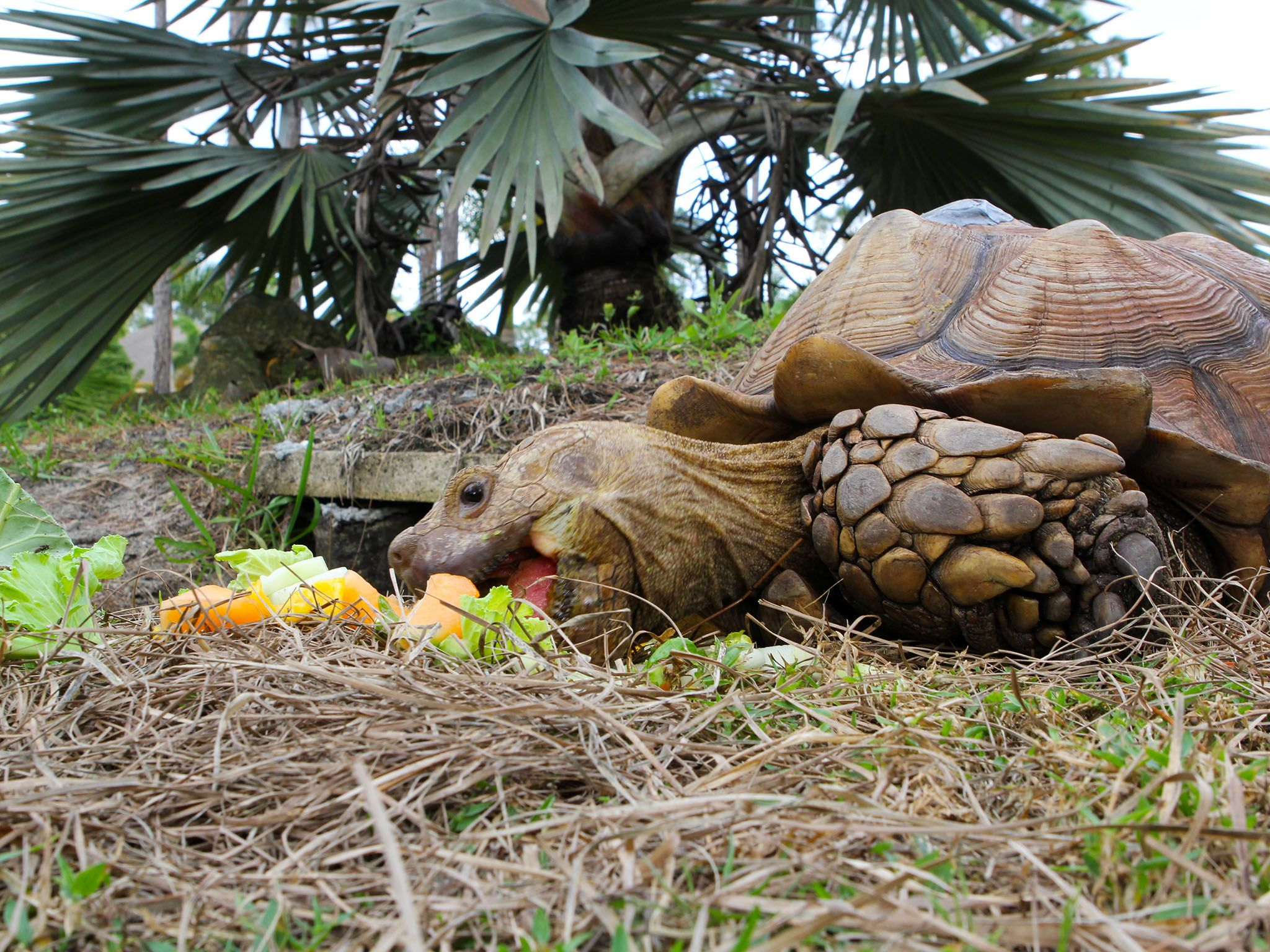 Deerfield Beach, Fla.:  Dr. Susan Kelleher's sulcata tortoise, Durda, eating outside of burrow.... [Photo of the day - April 2016]