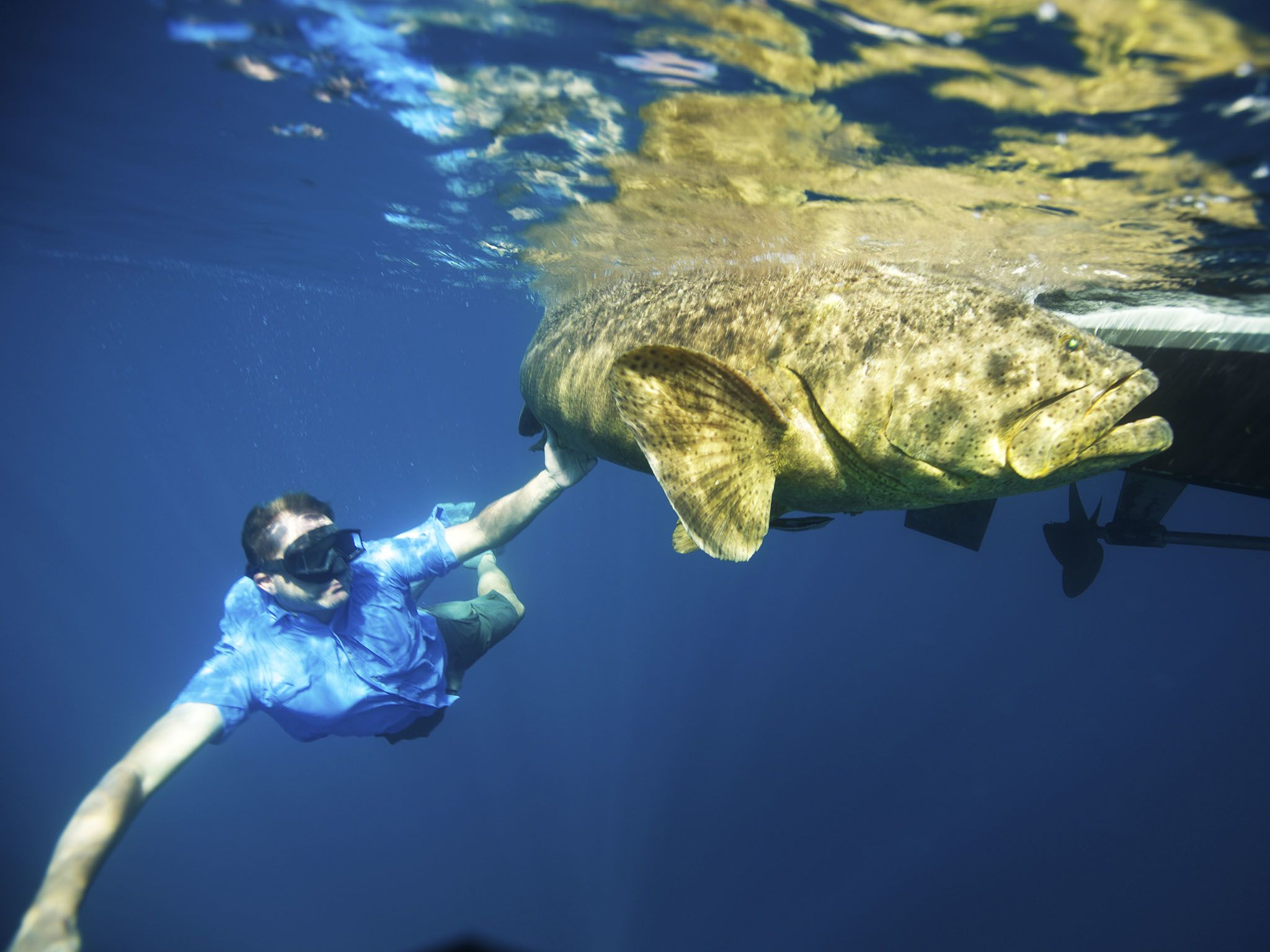 Fla.:  Zeb swims with a Goliath Grouper. The Goliath Grouper is listed as a Critically... [Photo of the day - April 2016]