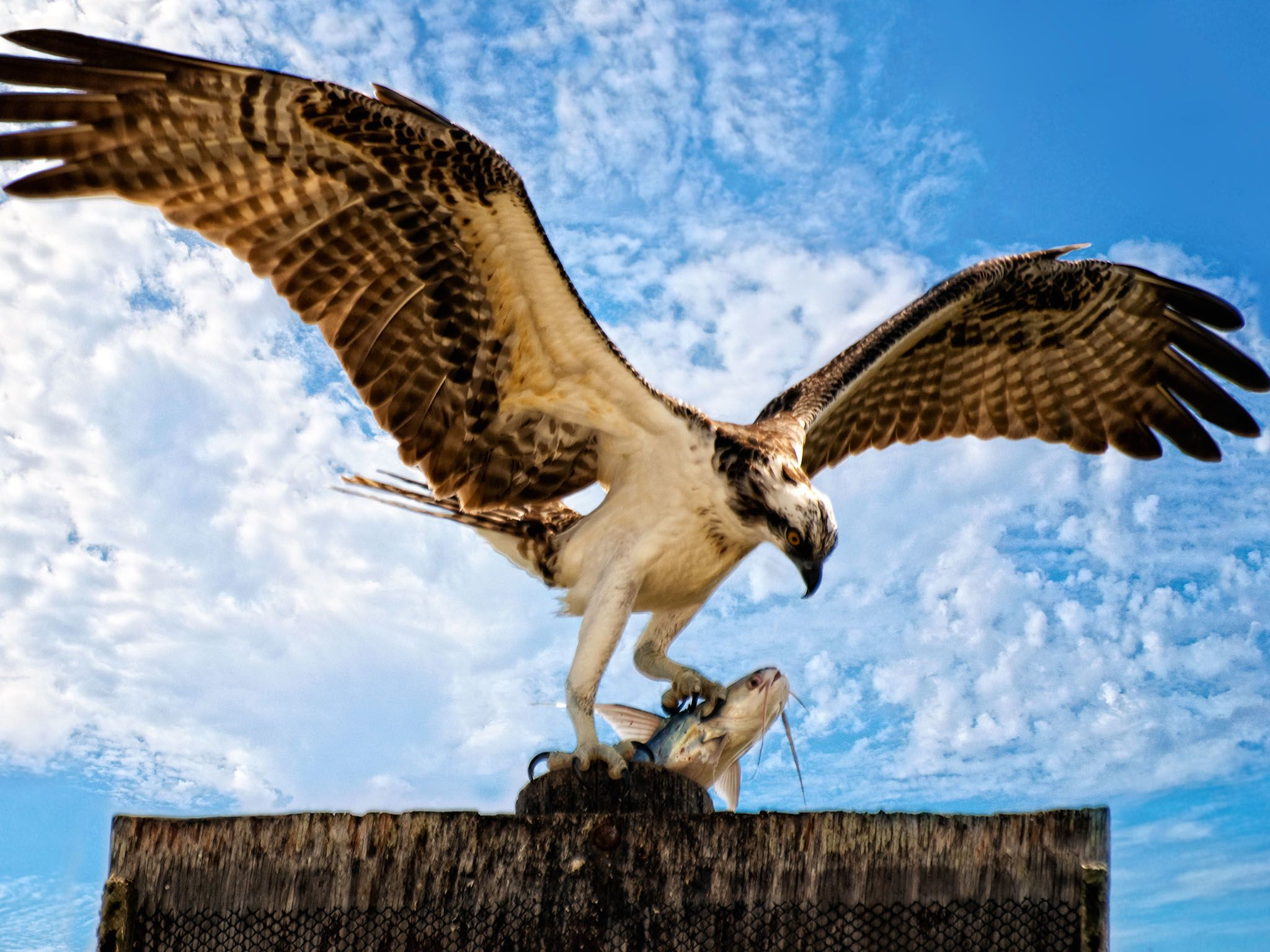 "Fla.: The Osprey is also known as the ""fish hawk"" since ninety percent of its diet... [Photo of the day - April 2016]"