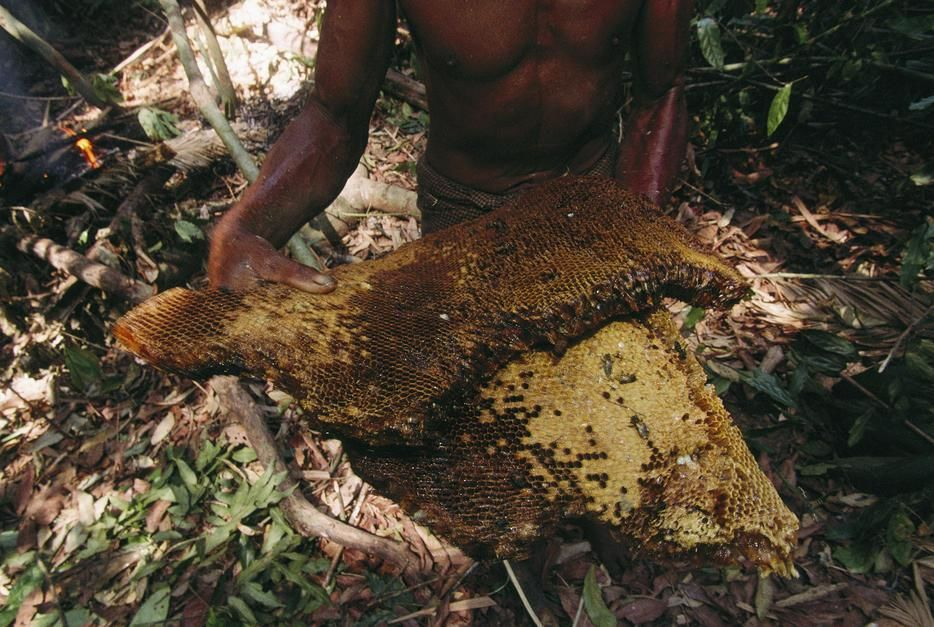 Barechested Moken tribesman with honeycomb in a forest, Nyawi Island. [Photo of the day - June 2011]