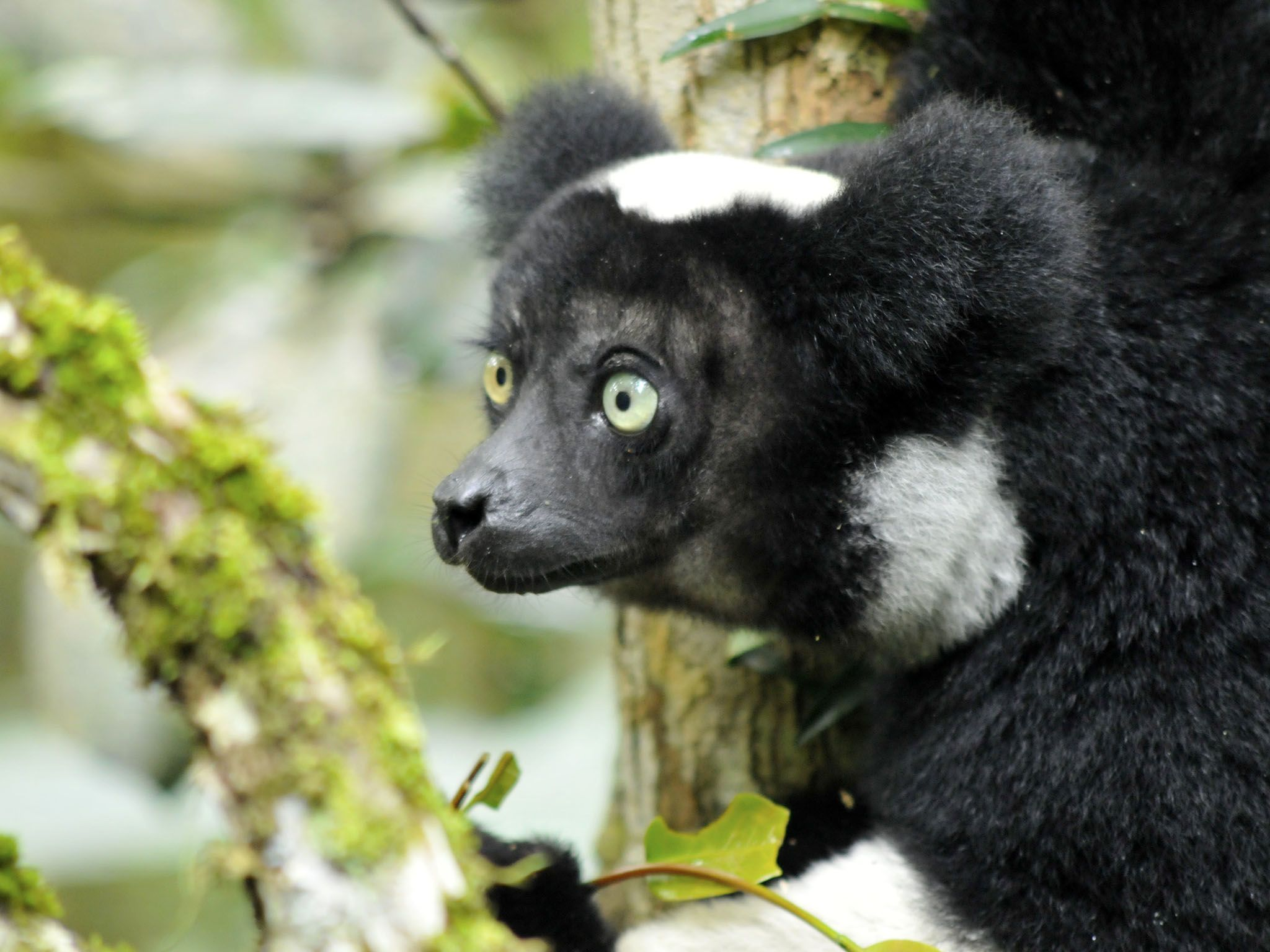 Madagascar: An indri, the largest of the living lemurs can climb trees with ease, using their... [Photo of the day - April 2016]