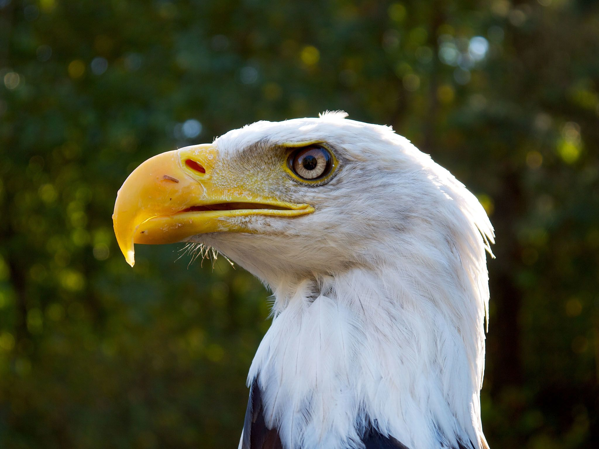 Vancouver:  The bald eagle is the only eagle unique to North America. It has a wingspan of over... [Photo of the day - 四月 2016]