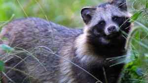 Raccoon dogs are foraging along the... [Фото дня - 30 АПРЕЛЬ 2016]