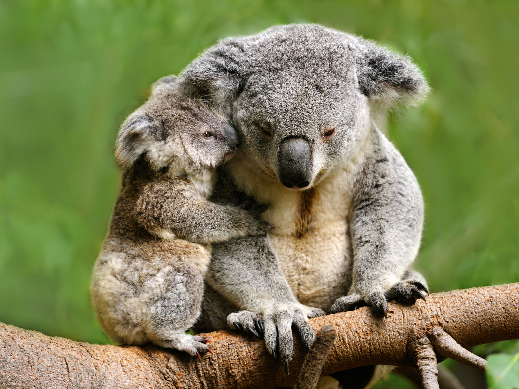 Koalas spend so much energy processing their high fibre, low protein diet of eucalyptus leaves... [Photo of the day - May 2016]