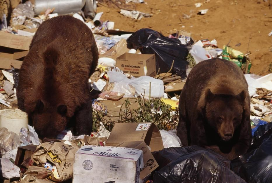 California black bears regularly raid the Happy Camp city dump for garbage food and are becoming ... [Photo of the day - יוני 2011]