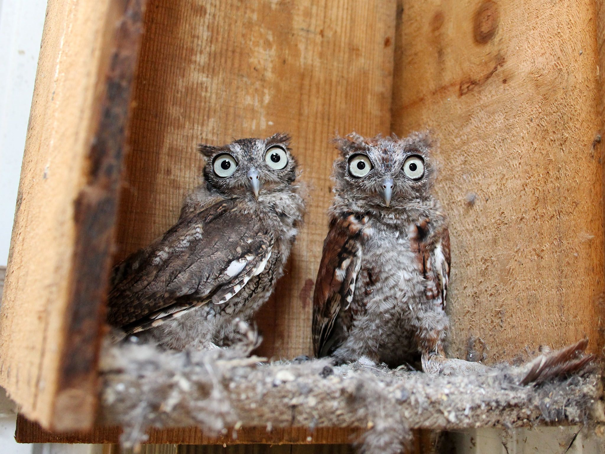 Owensboro, K.Y.: Eastern Screech Owl fledglings often remain close to their siblings. Licensed... [Photo of the day - می 2016]