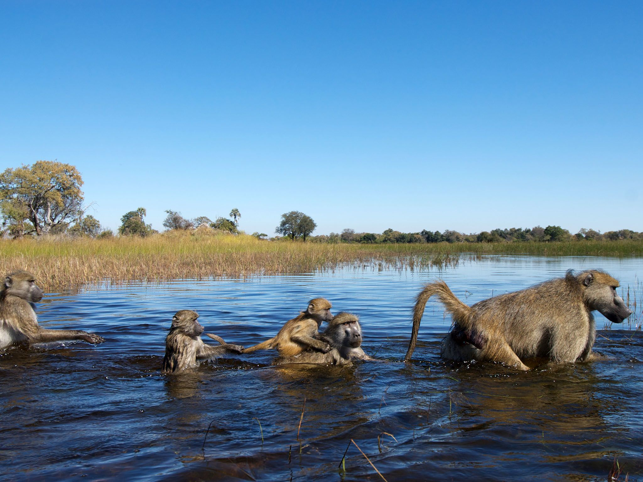 Moremi Game Reserve, Ngamiland, Botswana: A troop of chacma baboons crosses a flooded plain in... [Photo of the day - May 2016]