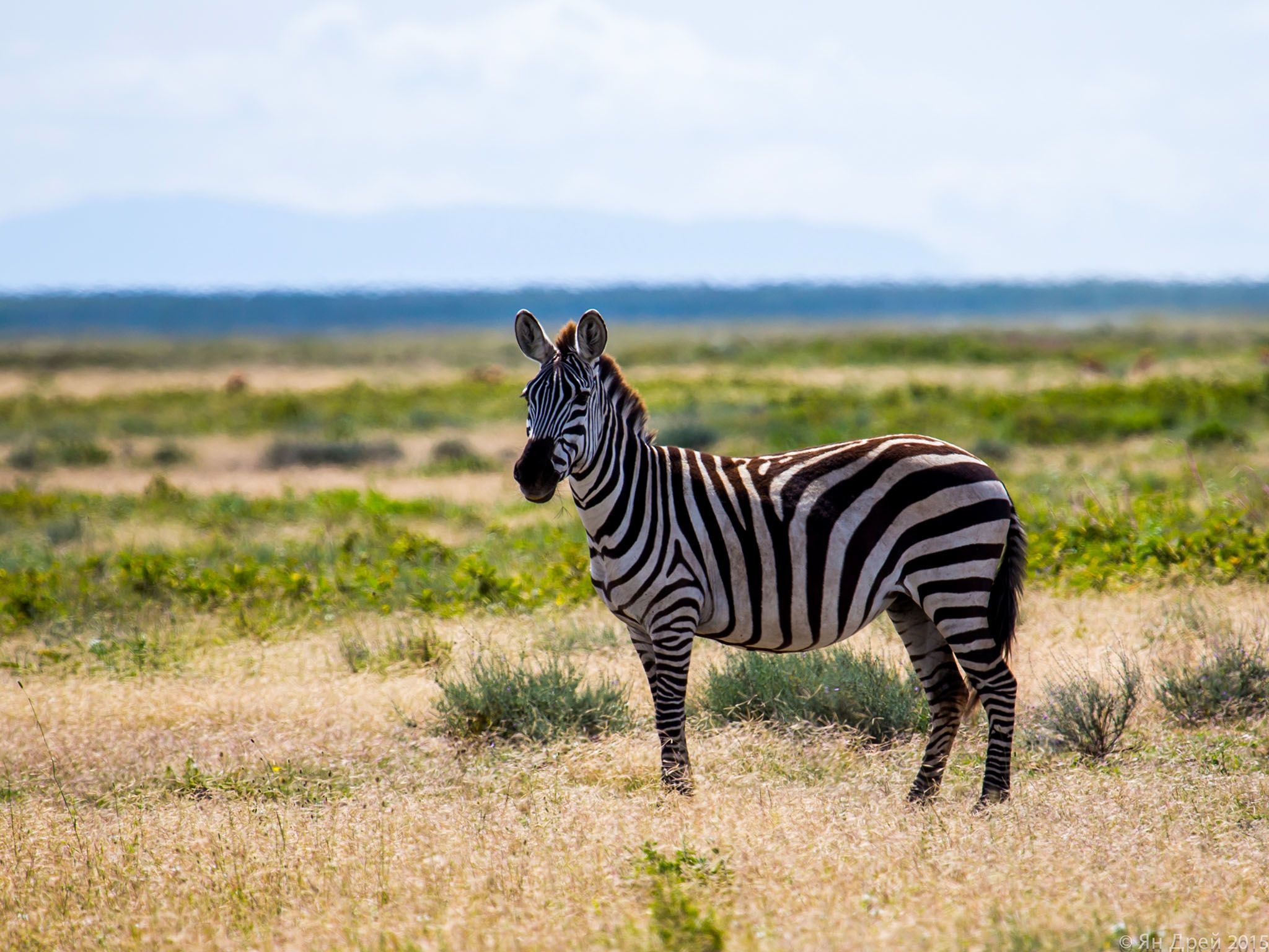 Tanzania, Africa: Solo Zebra on the Serengeti plains. This image is from MyGrations. [Photo of the day - می 2016]