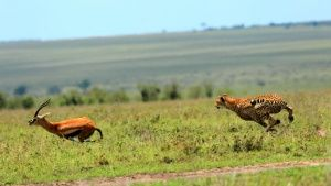Cheetahs are the fastest sprinters... [Photo of the day - 22 MAJ 2016]
