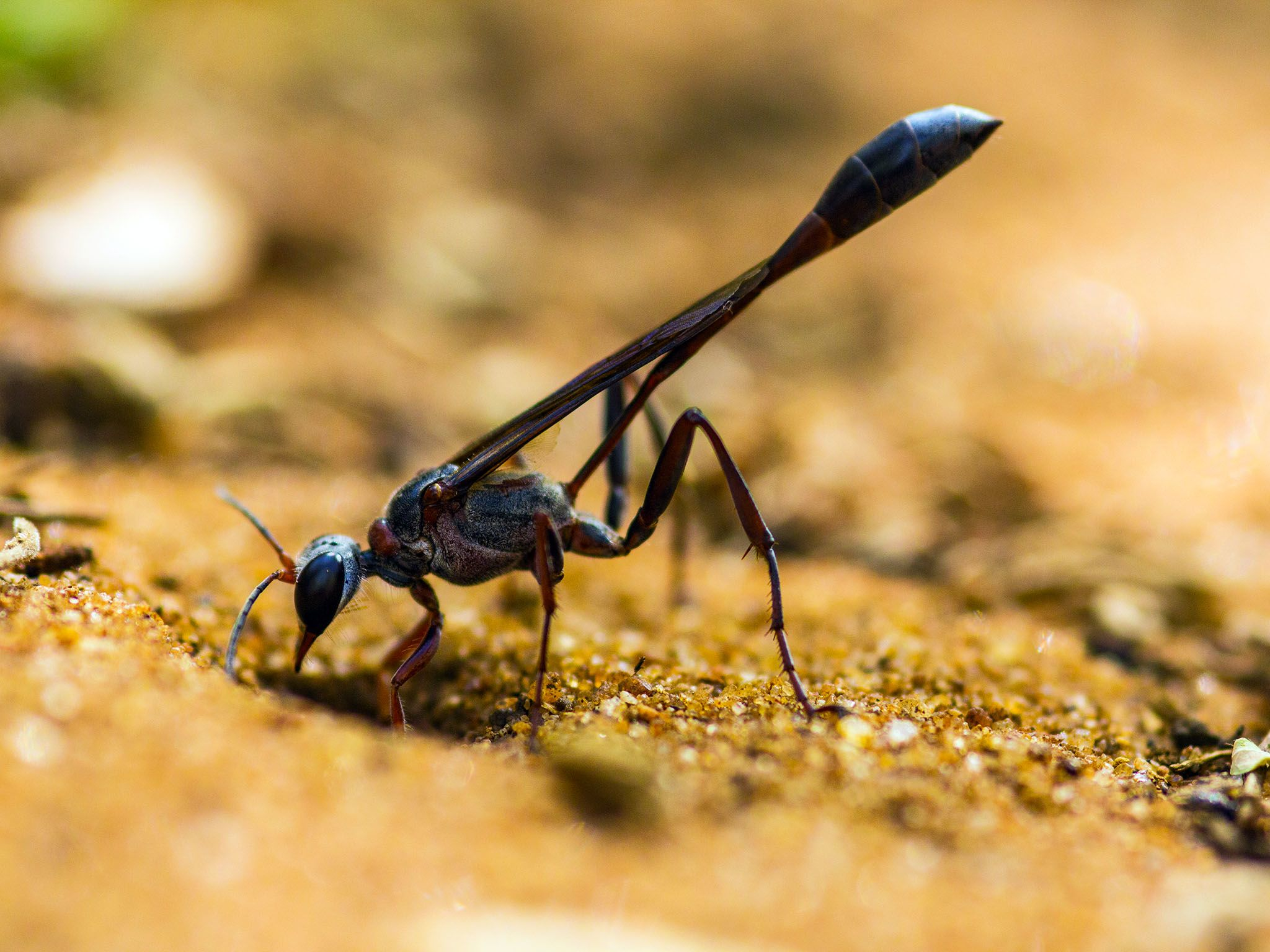 Durban, South Africa: A thread-waisted parasitic wasp standing on soil with head positioned... [Photo of the day - می 2016]