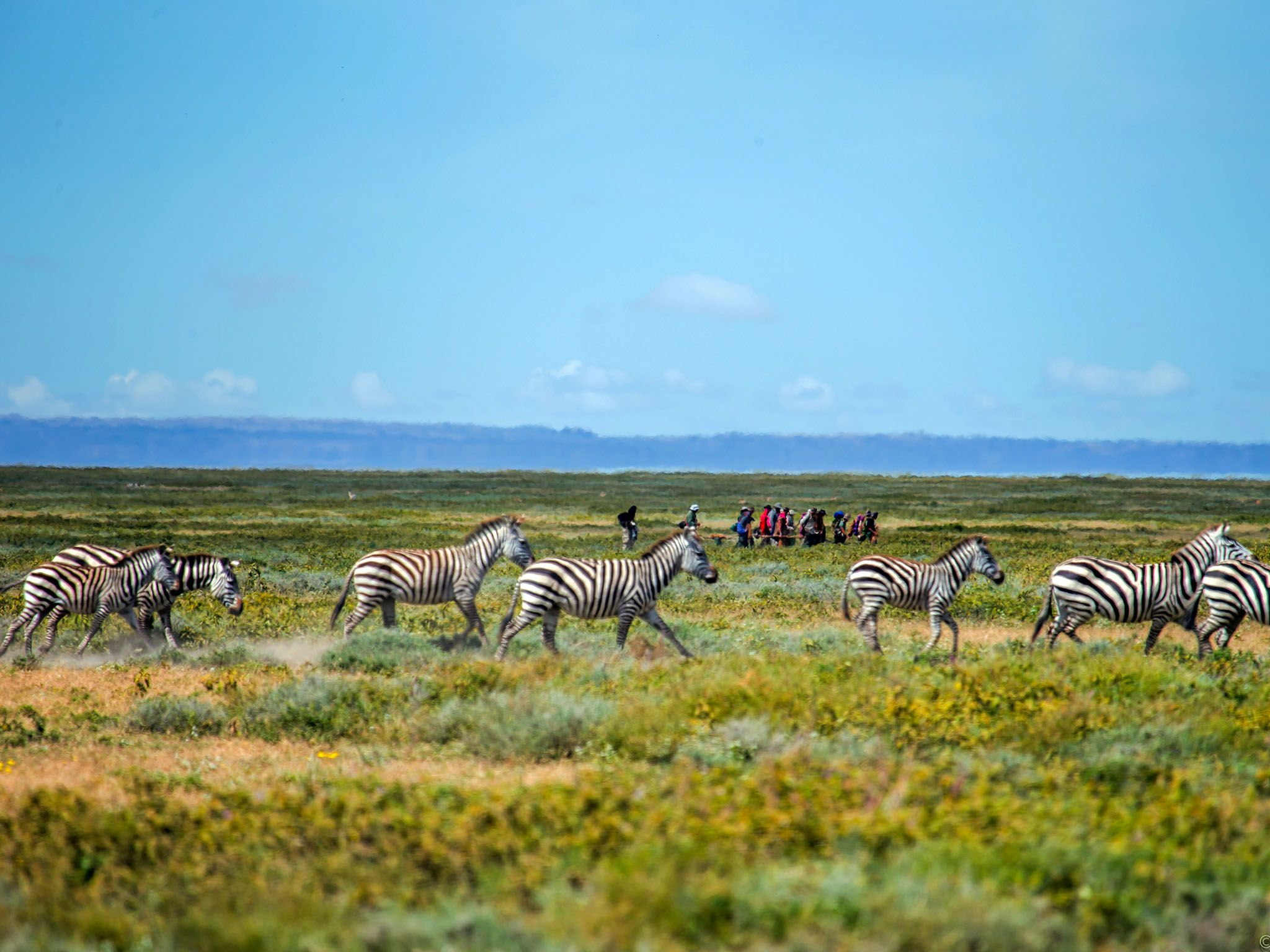 Tanzania, Africa: Extreme long shot of human herd migrating with a herd of zebras in middle... [Photo of the day - May 2016]