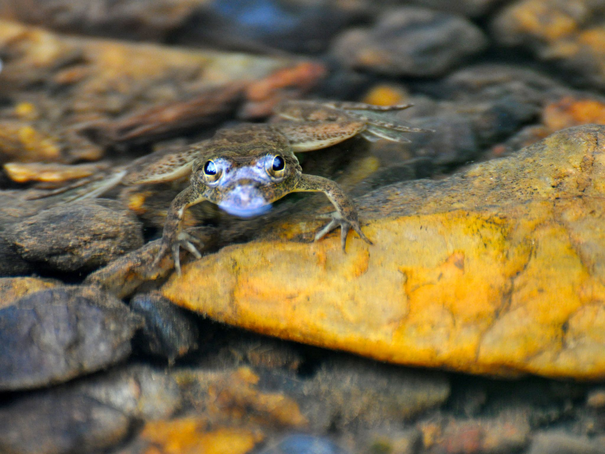 Western Ghats: A huge majority of the amphibians found in the Western Ghats are endemic, with... [Photo of the day - ژوئن 2016]