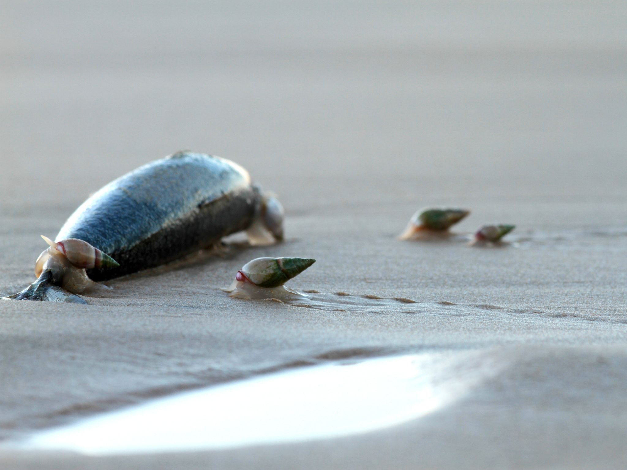 Port Elizabeth, South Africa: Plough snails gathering to feed. They are known to surf outgoing... [Photo of the day - June 2016]