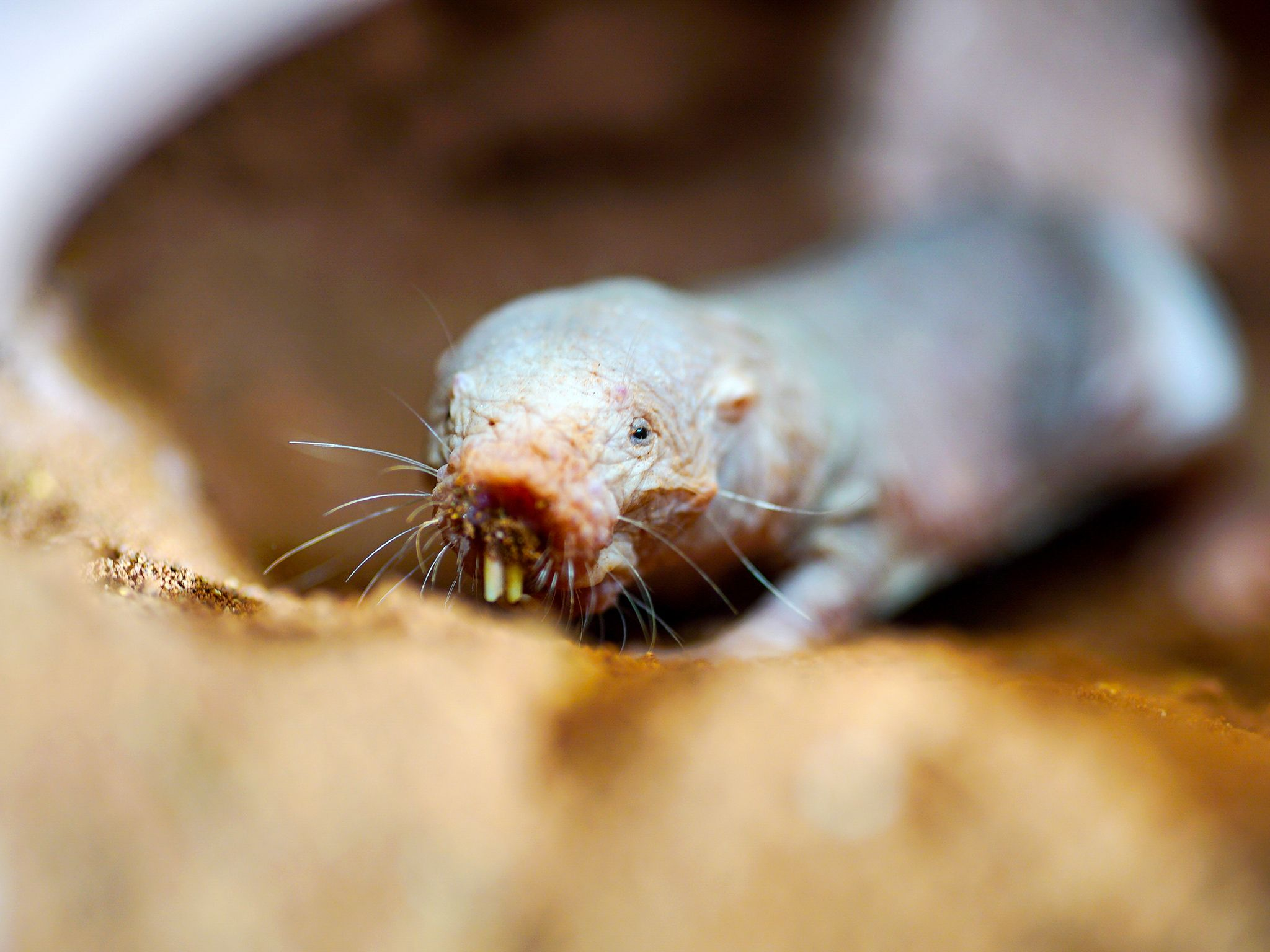 Cape Town, South Africa: A naked mole rat in sandy tunnel, showing incredible teeth built for... [Photo of the day - June 2016]