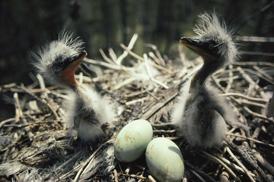 Two great blue heron fledglings sit near eggs in a nest, Idaho. [Fotografija dneva - julij 2011]