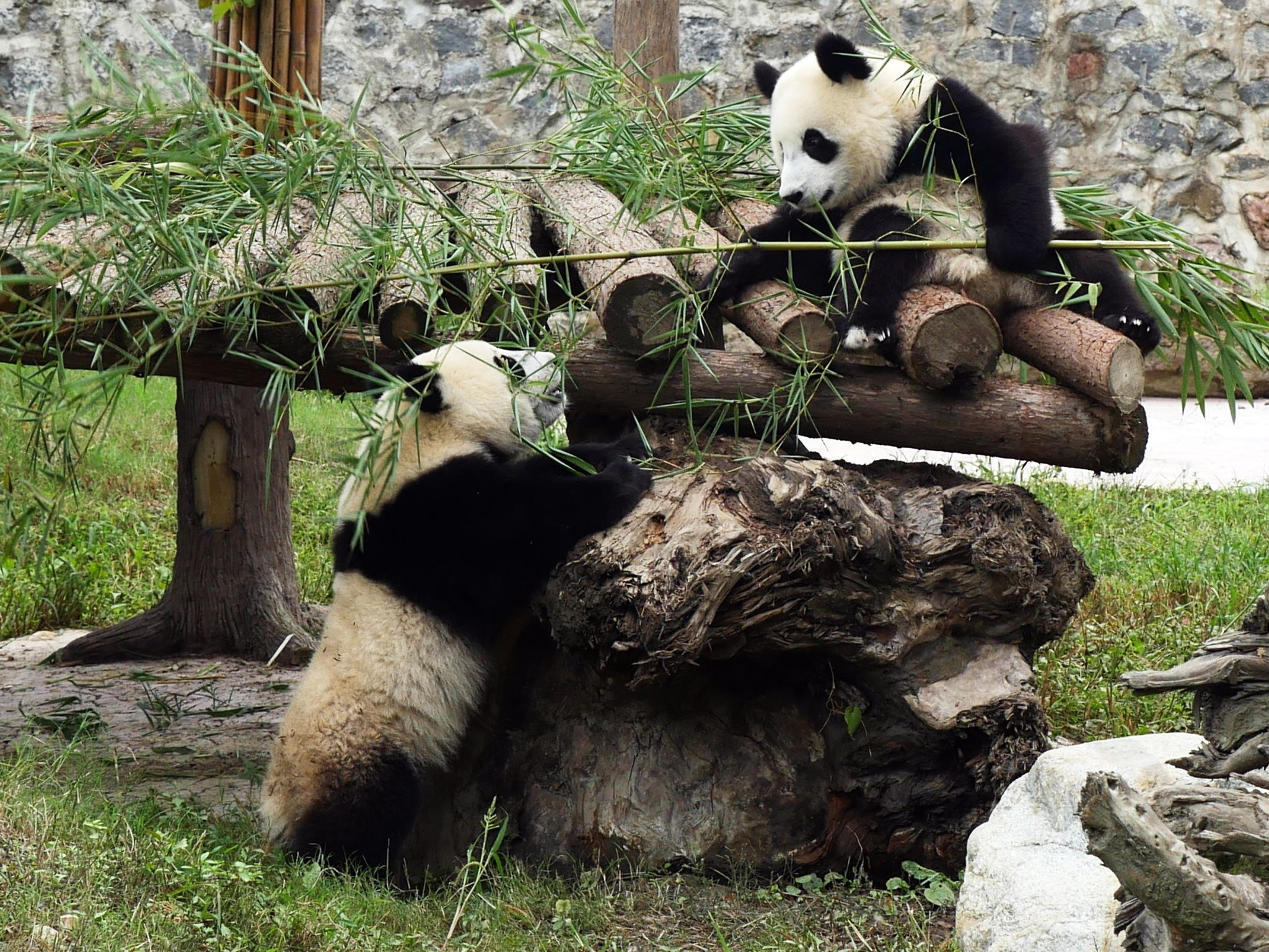 Fei Fei and Wang Lia playing with bamboo at Dujiangyan Panda Reserve. This image is from Panda... [Photo of the day - July 2016]