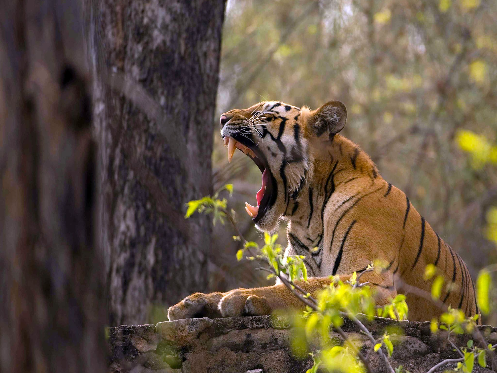 Tadoba National Park, Maharashtra, India: A Tiger shows it huge canines while yawning in the... [Photo of the day - 七月 2016]
