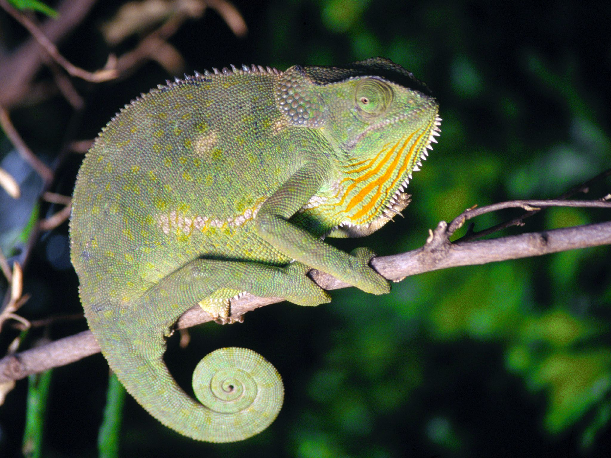Africa: Flap-necked chameleon (chamaeleo dilepis), poised on top of a tree branch in tropical... [Photo of the day - July 2016]