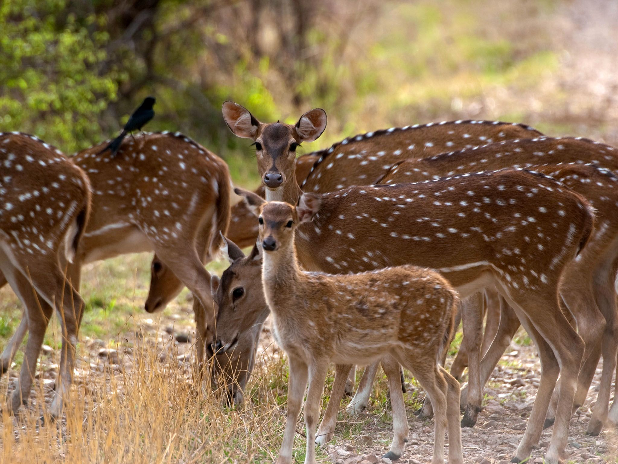 Ranthambhore National Park, Rajasthan, India: A group of chital graze in Ranthambhore National... [Photo of the day - July 2016]