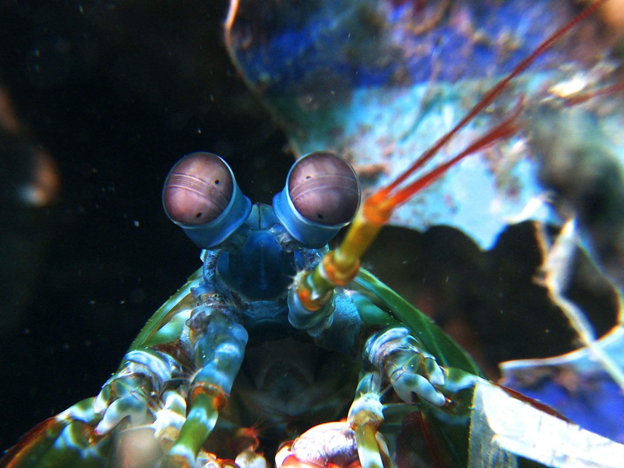 Indo-Pacific Ocean: The peacock mantis shrimp (odontodactylus scyllarus) is one of the larger,... [Photo of the day - July 2016]