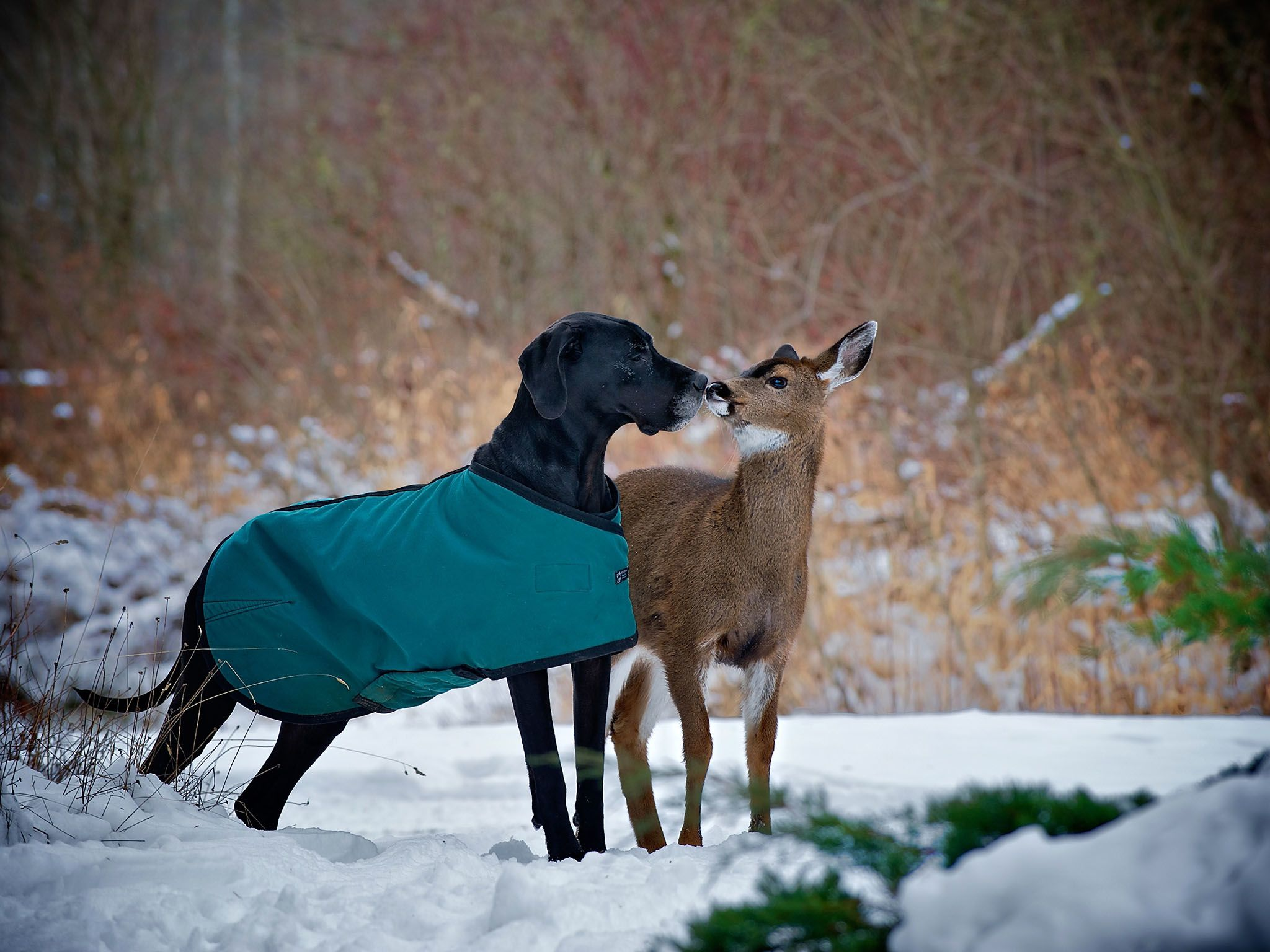 Courtenay, BC, Canada: Kate the dog and Pippin the deer kiss. This image is from Unlikely Animal... [Photo of the day - 七月 2016]