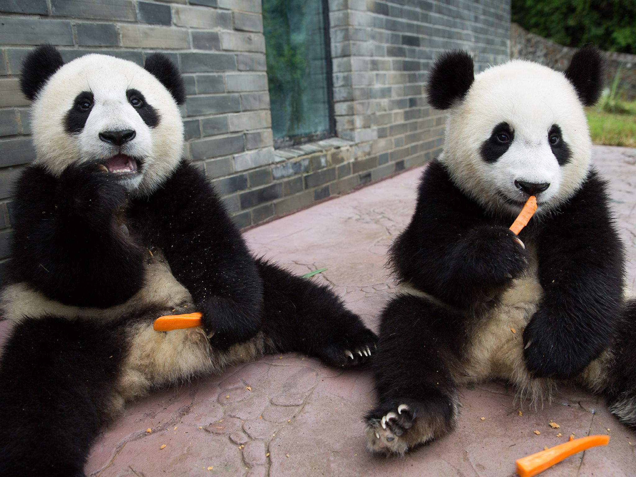 Young Pandas eating carrots. This image is from Panda Babies. [Photo of the day - 七月 2016]
