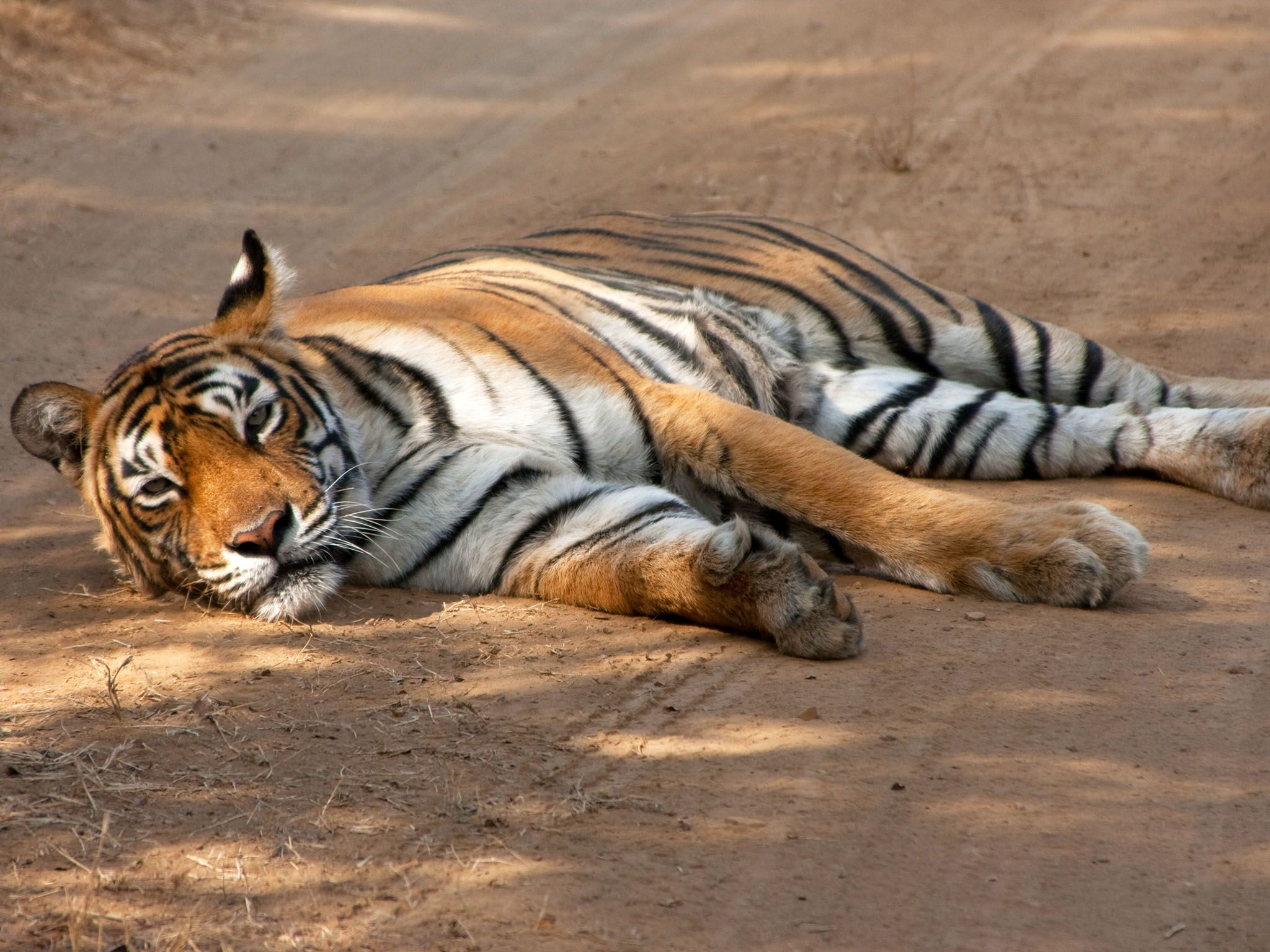 Ranthambhore National Park, Rajasthan, India: A tiger lays on a dirt track in Ranthambhore... [Photo of the day - 七月 2016]