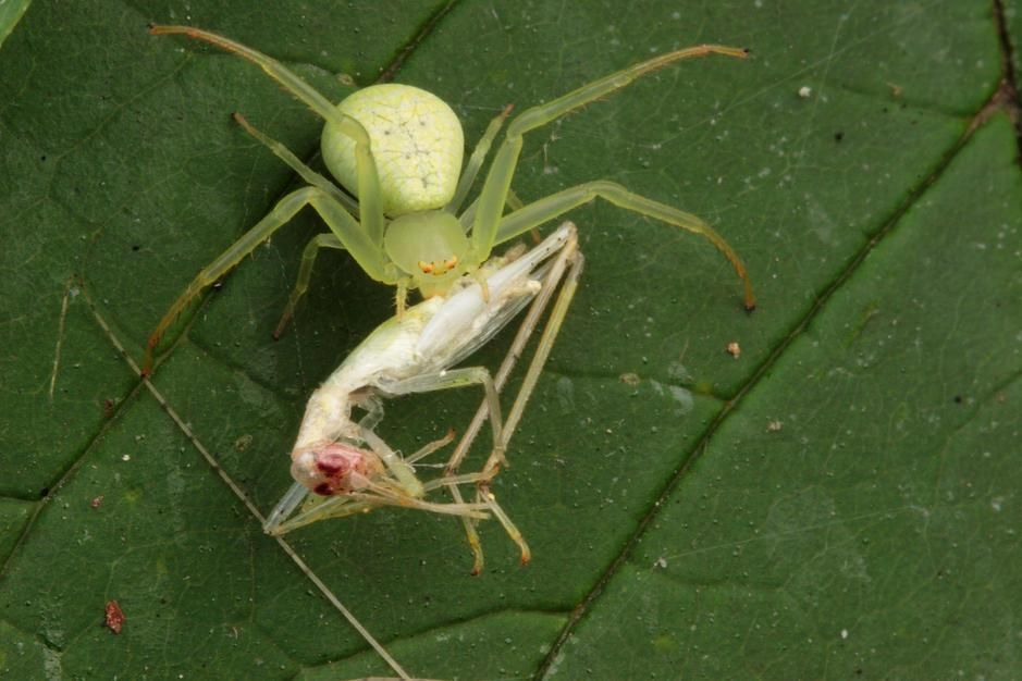 Crab spider with cricket prey in Maryland. [Fotografija dneva - julij 2011]