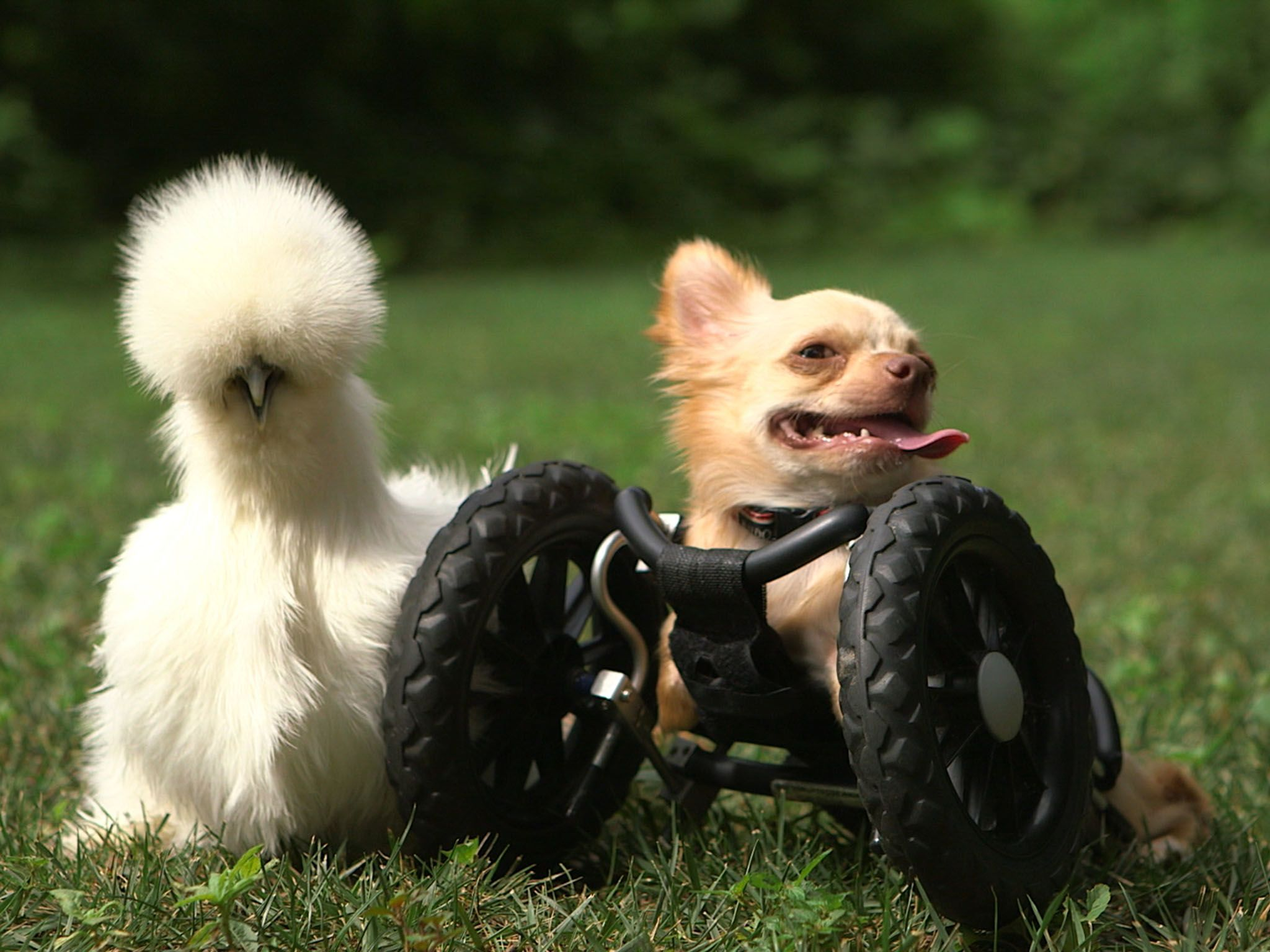 Two-legged chihuahua Roo is right next to his best buddy Penny, a silkie chicken. Both of these... [Photo of the day - July 2016]