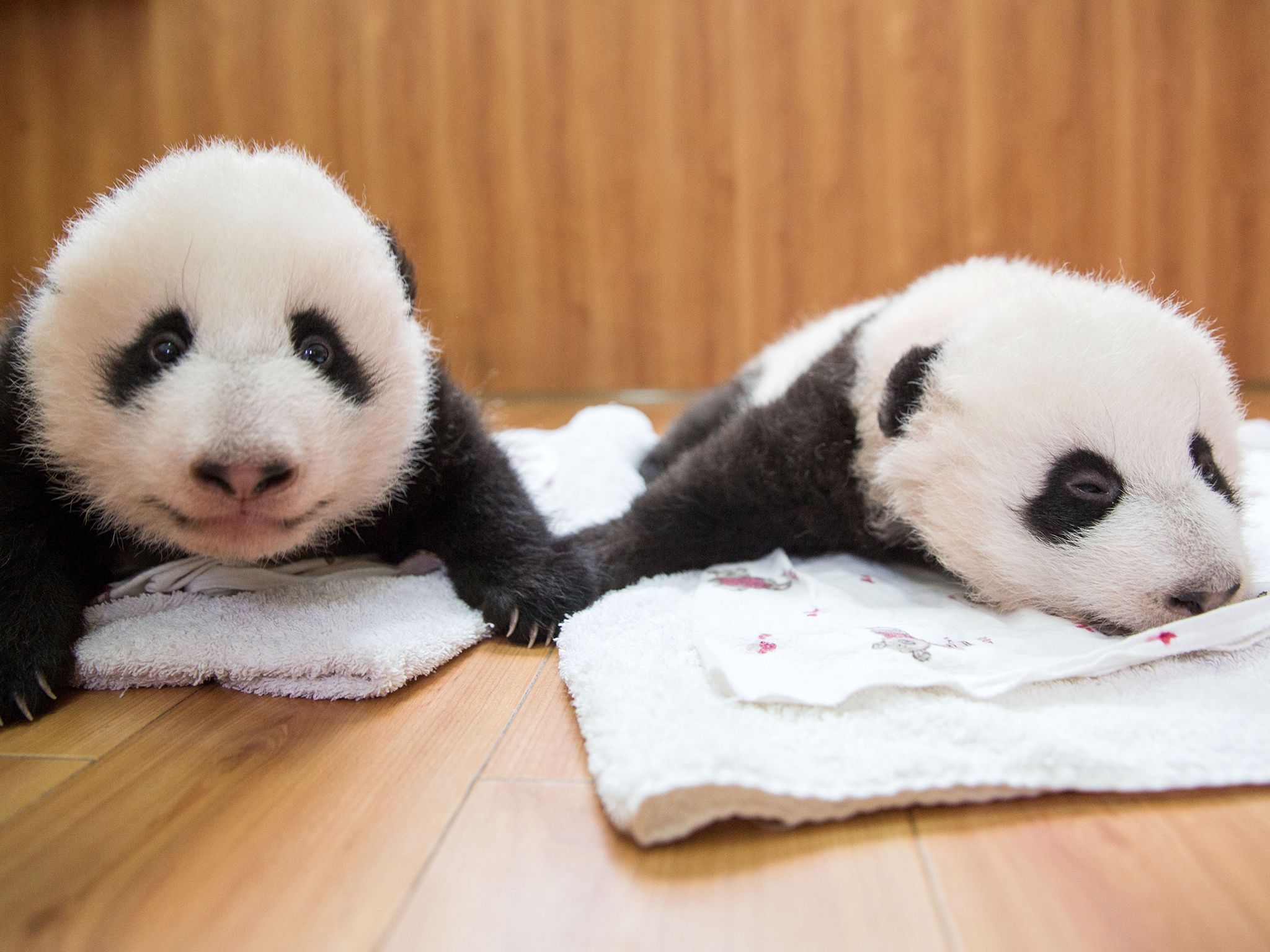 Baby Pandas at Wolong Panda Reserve. This image is from Panda Babies. [Photo of the day - July 2016]