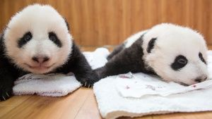 Baby Pandas at Wolong Panda Reserve.... [Photo of the day - 24 ژولیه 2016]