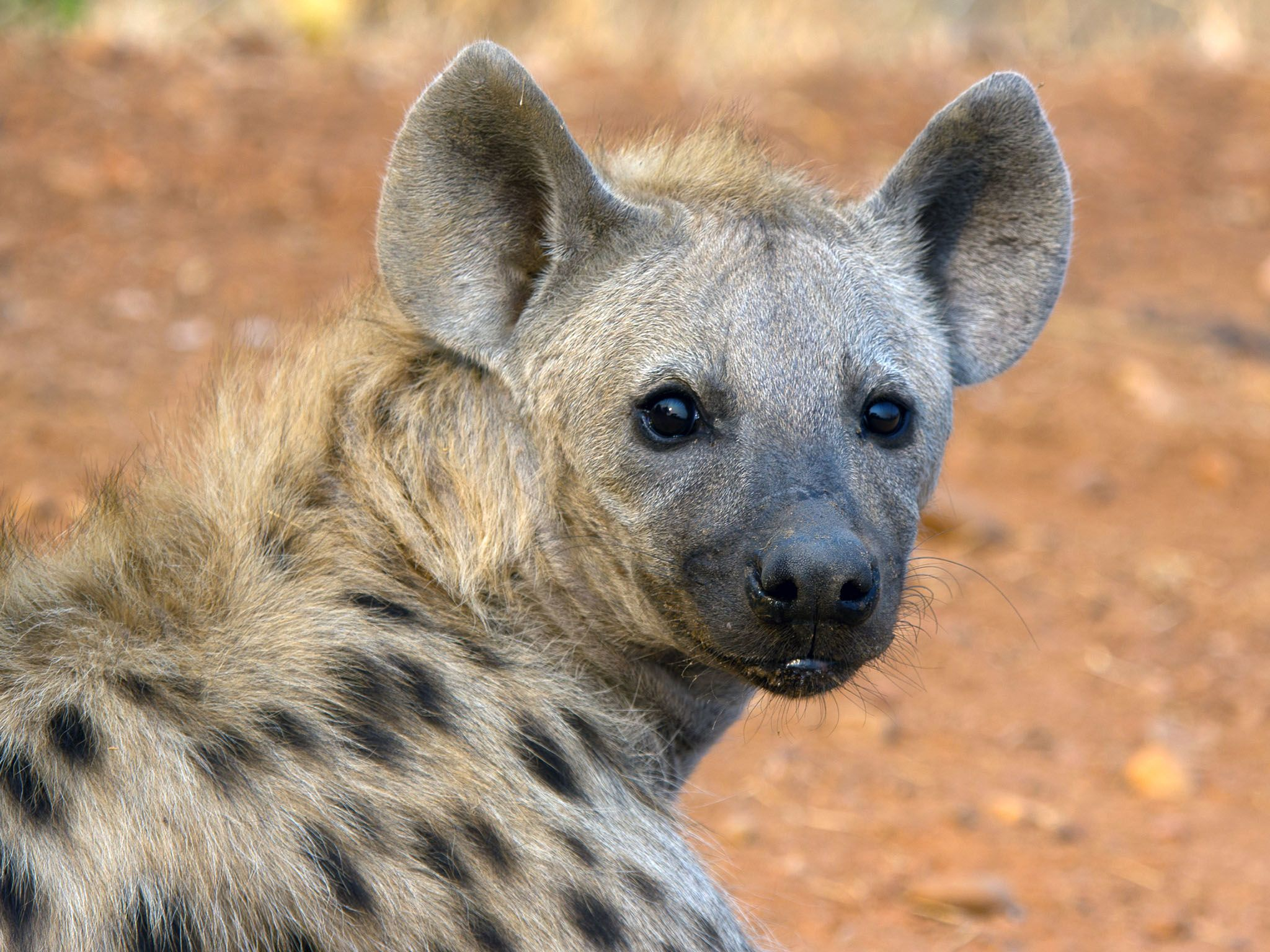 Zambia, Africa:  Hyena looking straight ahead. In hyena societies, the females are the stronger,... [Photo of the day - August 2016]